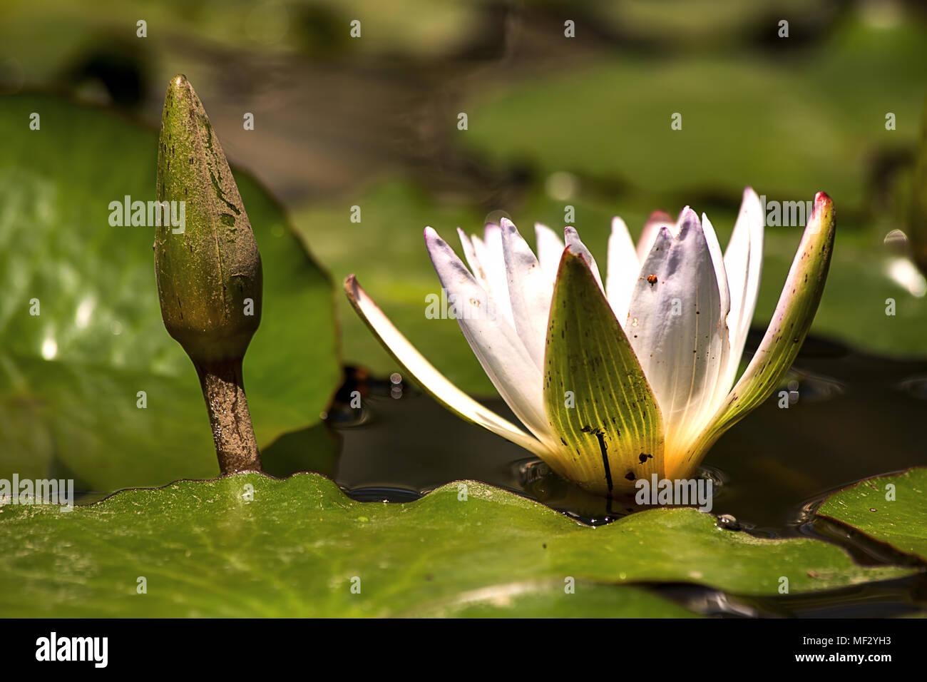 Ein fast völlig offen Lotus neben einer Knospe, die in einem Teich. Stockbild