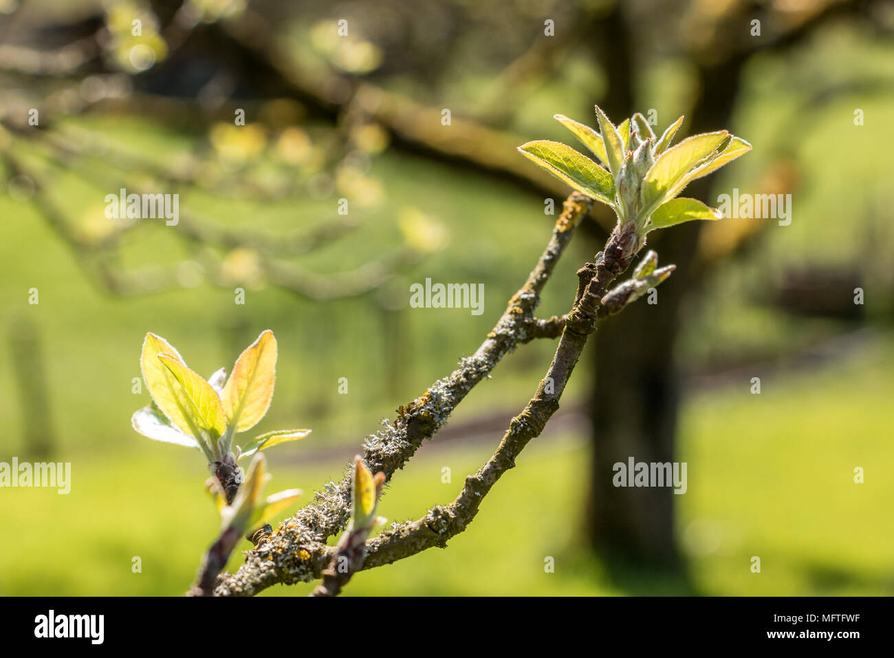 Grüne Blätter im Garten im Frühling Stockbild