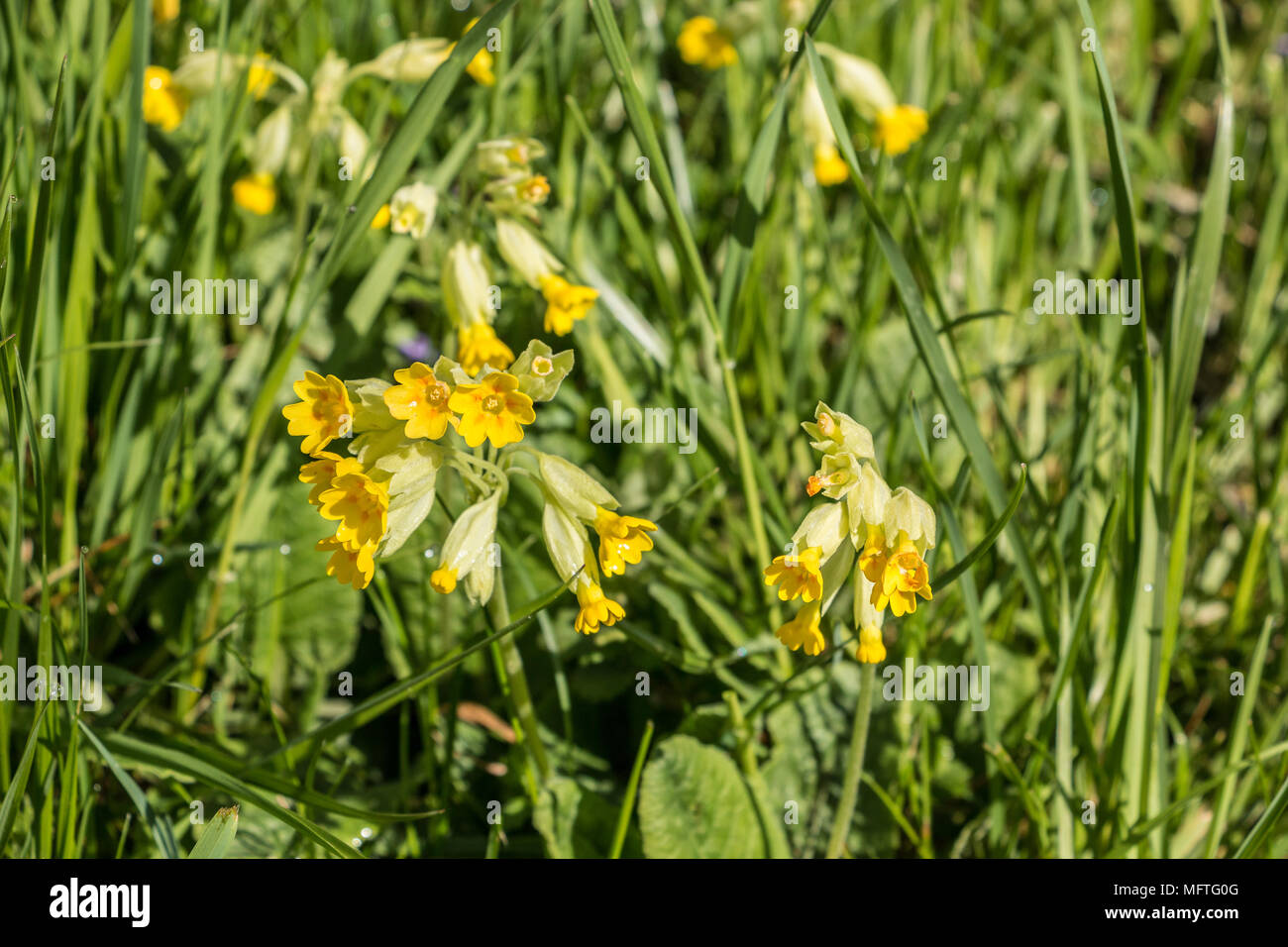 Gelbe Blumen und grüne Blätter auf dem grünen Feld Stockbild
