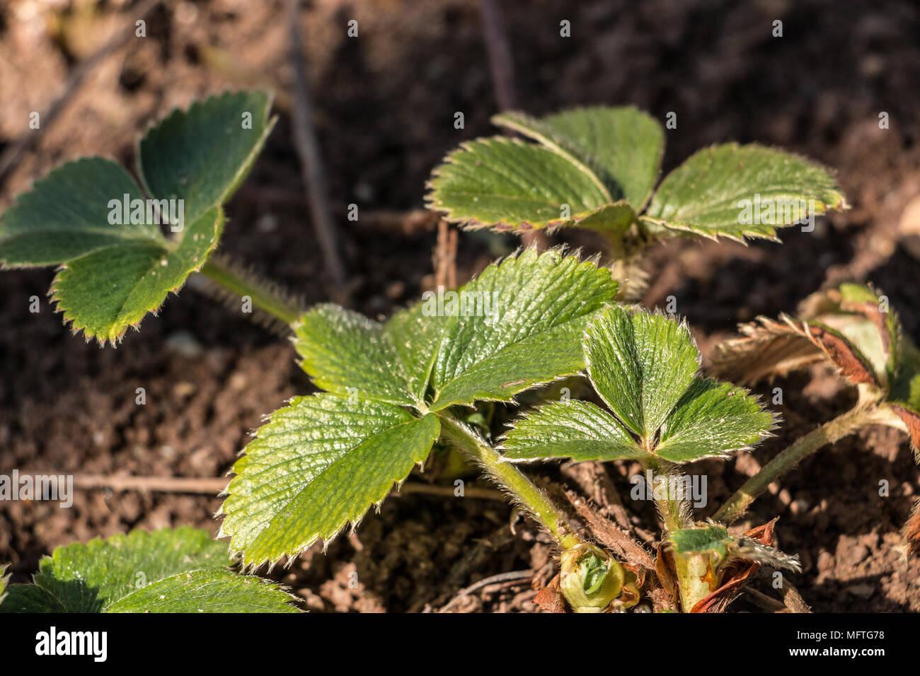 Grüne Erdbeere Pflanze auf dem Feld Stockbild