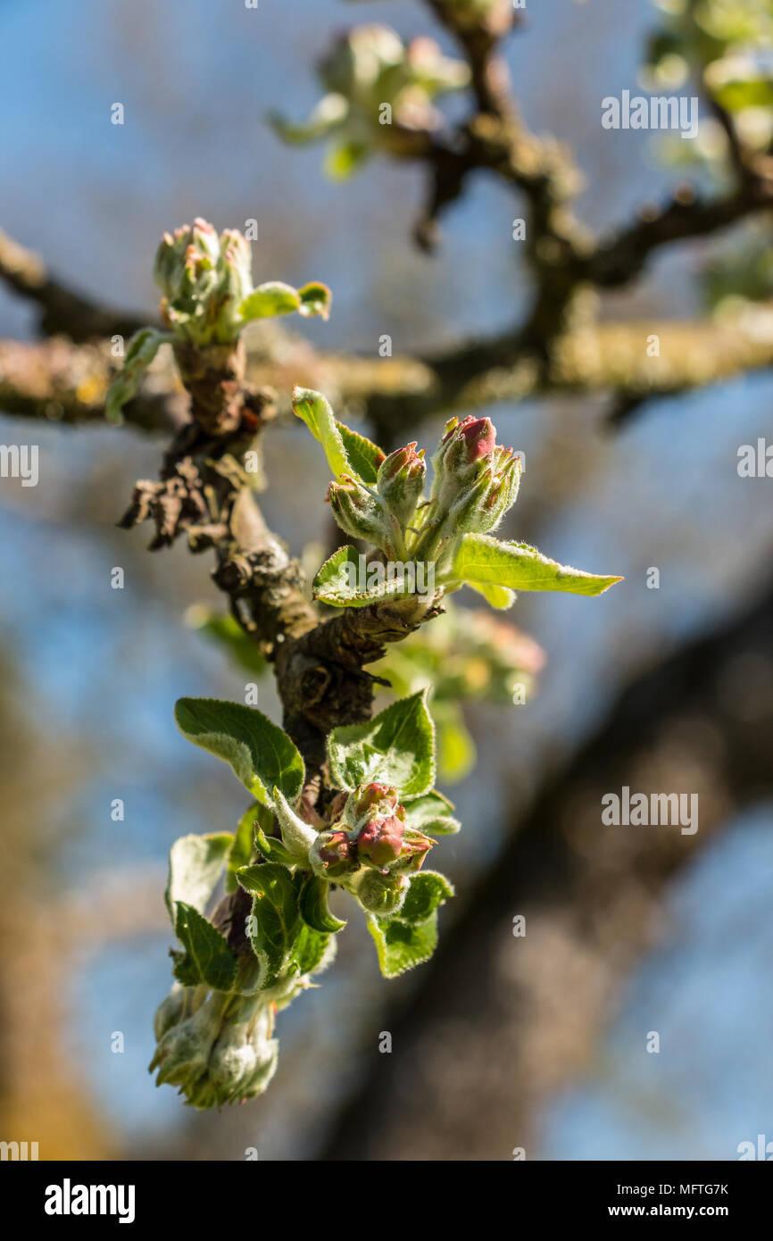 Wachsende Blätter und Blüten auf einem Baum auf der grünen Wiese Stockbild