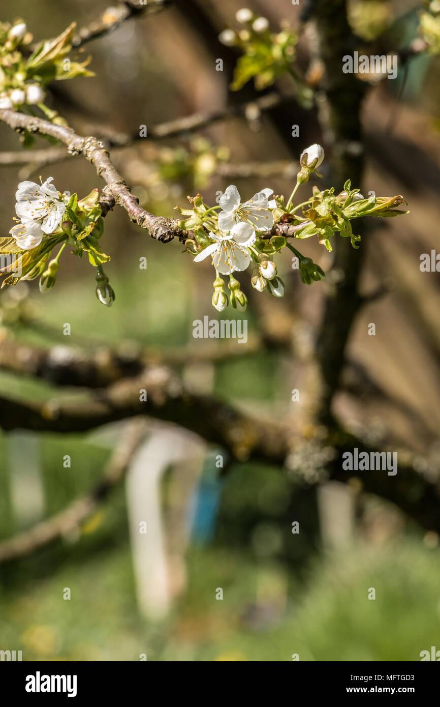 Weiße Blüten auf einem Baum auf der grünen Wiese Stockbild