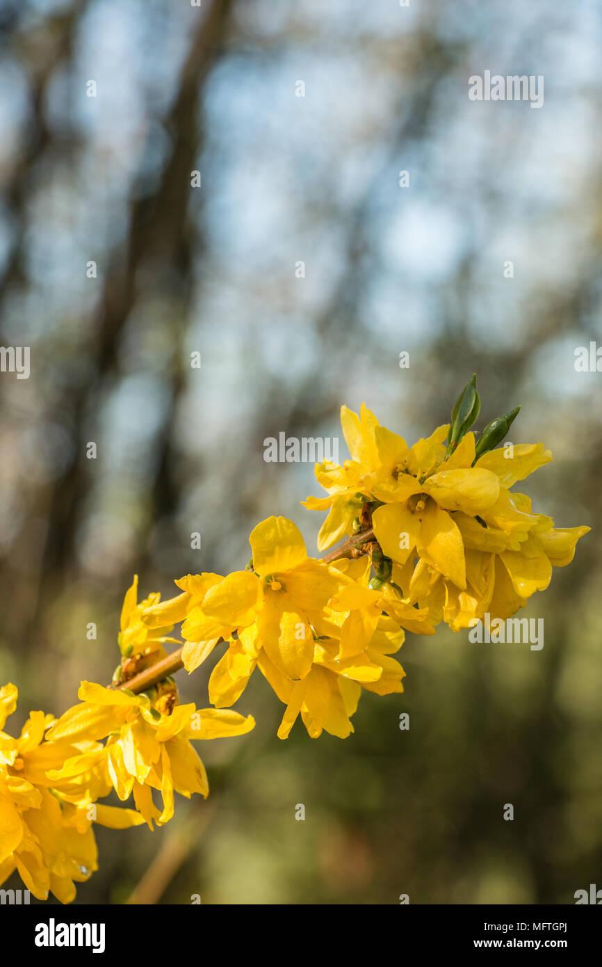 Gelbe Blüten auf einem Baum auf der grünen Wiese Stockbild