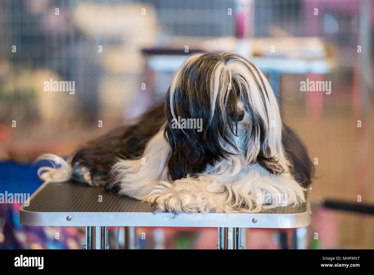 gro e schwarze und wei e malteser hund beim entspannen auf scherung tabelle vor der show. Black Bedroom Furniture Sets. Home Design Ideas