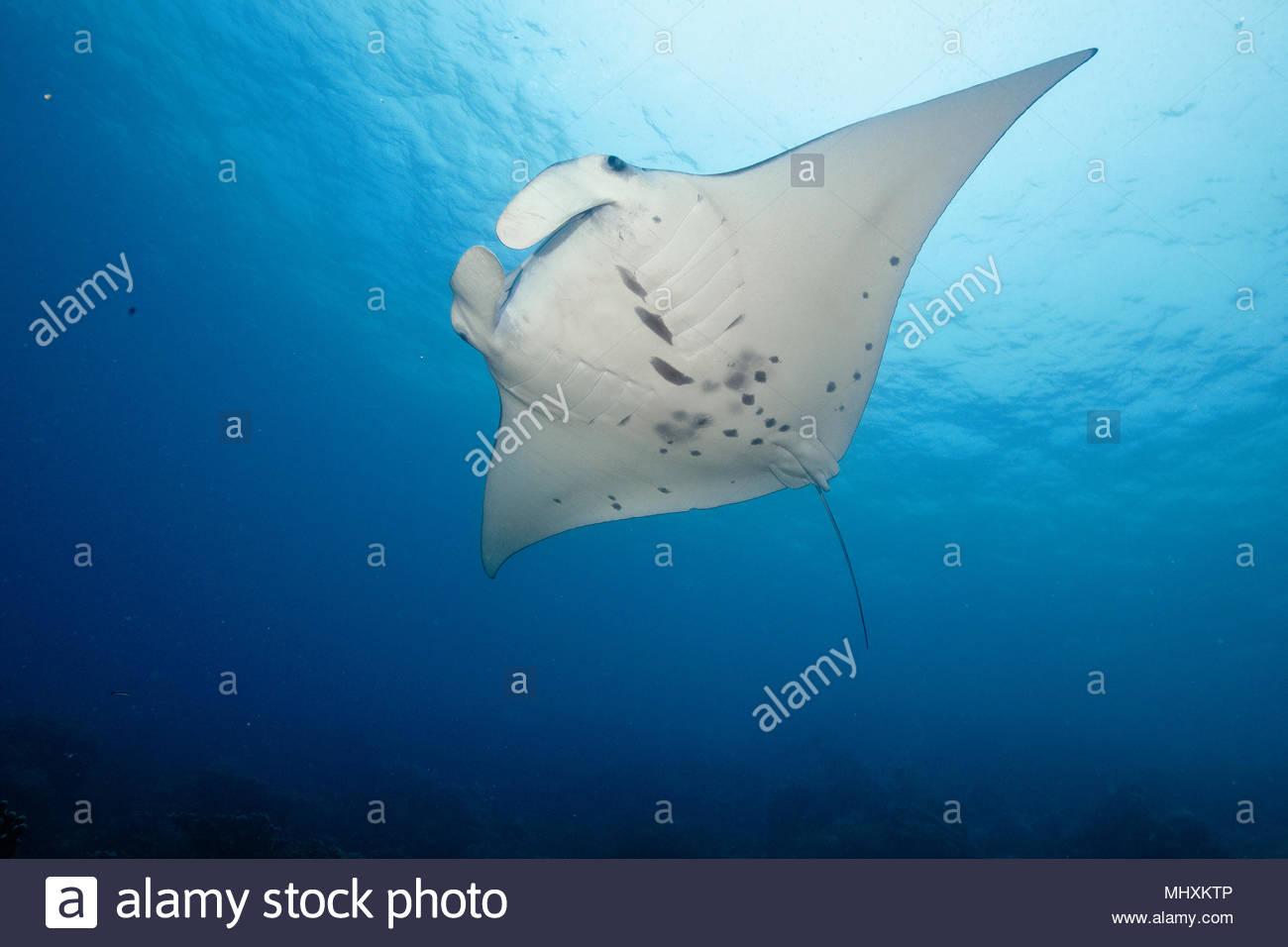 Mantaray, Reef Manta, riesige Ray//alfredi) | Manta Manta, Teufelsrochen, Flügelrochen, Riffmanta/(Manta alfredi) Stockbild