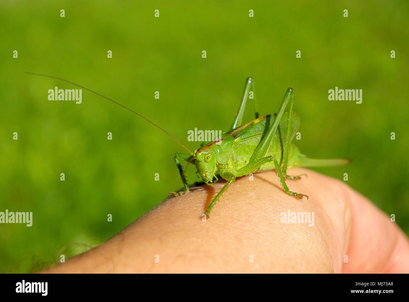 Frau Busch cricket Arten (Tettigonia) auf eine menschliche Hand. Stockfoto