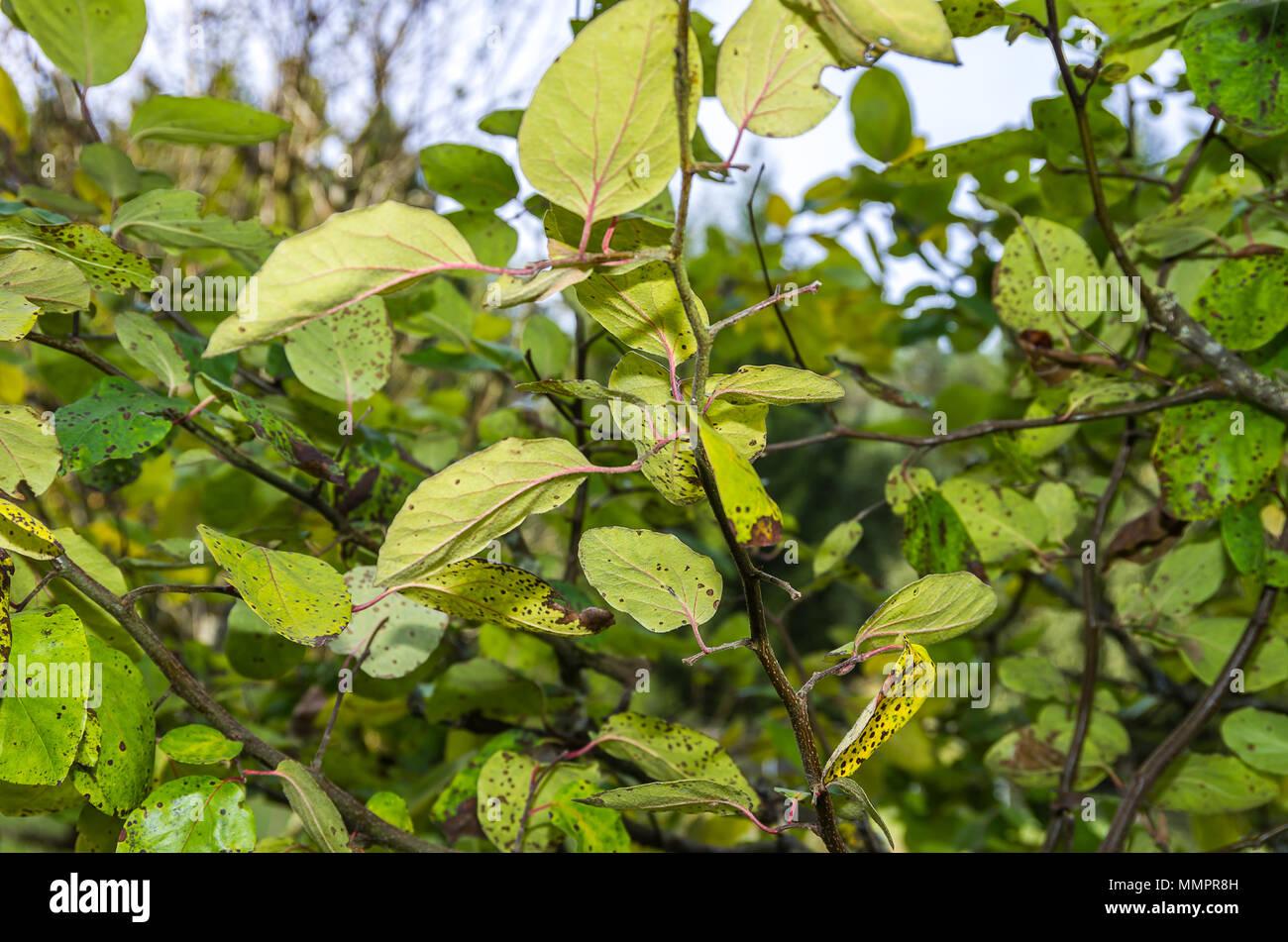 Quitte Baum voller Blätter in einem natürlichen Garten Umwelt. Stockfoto