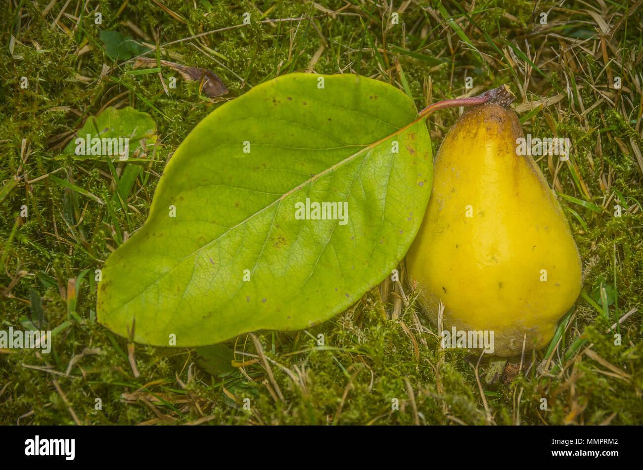 Frisch Quitte Obst mit Blatt in das Gras geerntet. Stockfoto