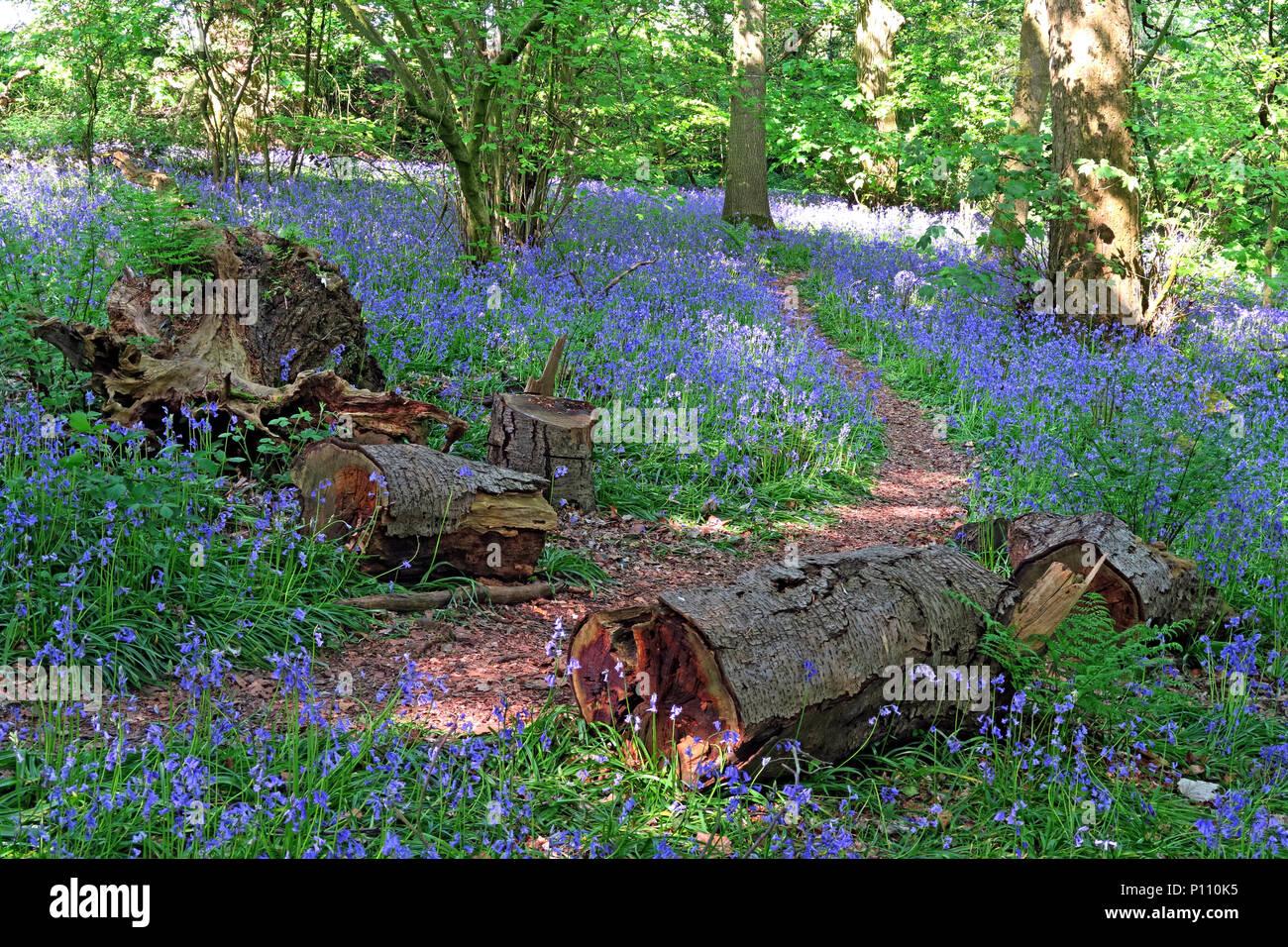 Laden Sie dieses Alamy Stockfoto Englisch Bluebell Holz im Frühjahr, Cheshire, England, Großbritannien - P110K5