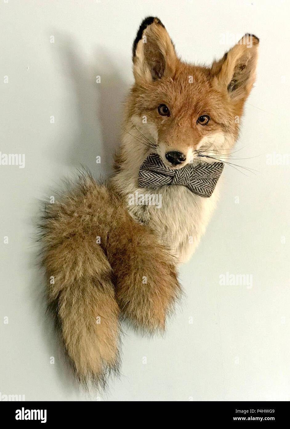 Dieses Stockfoto: Gefüllter Fuchs in einer Fliege, an einer Wand, montiert auf einem Wand - P4HWG9
