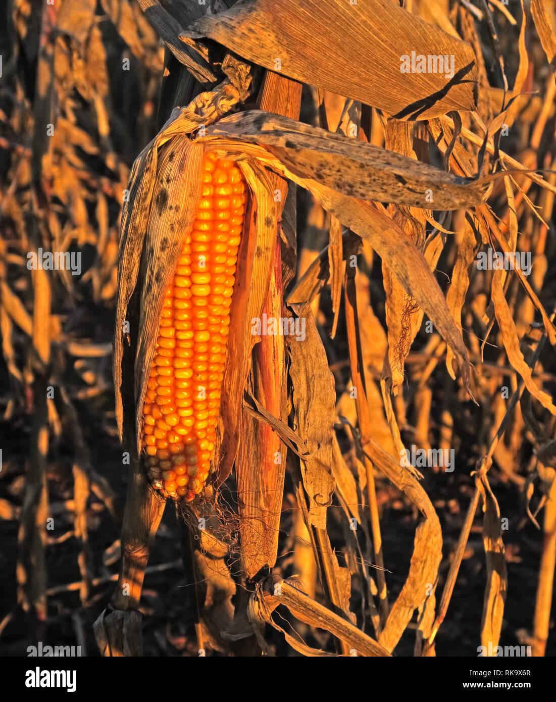 Laden Sie dieses Alamy Stockfoto Mais verrotten in einem Feld, die wegen Mangel an Arbeitern und gering bezahlte Arbeitnehmer - RK9X6R