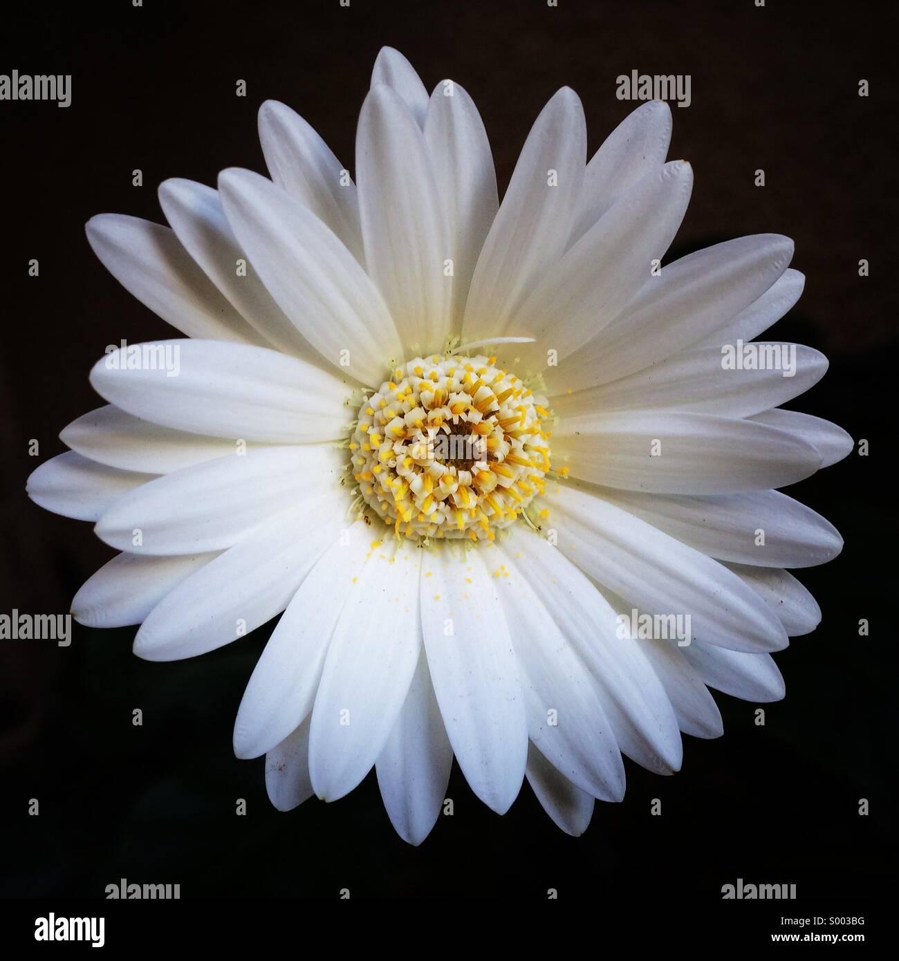 Einfache, weiße Gerbera Daisy Stockbild