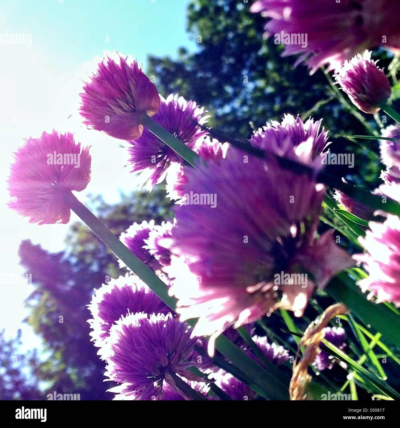 Blühende Schnittlauch im Sonnenschein Stockbild
