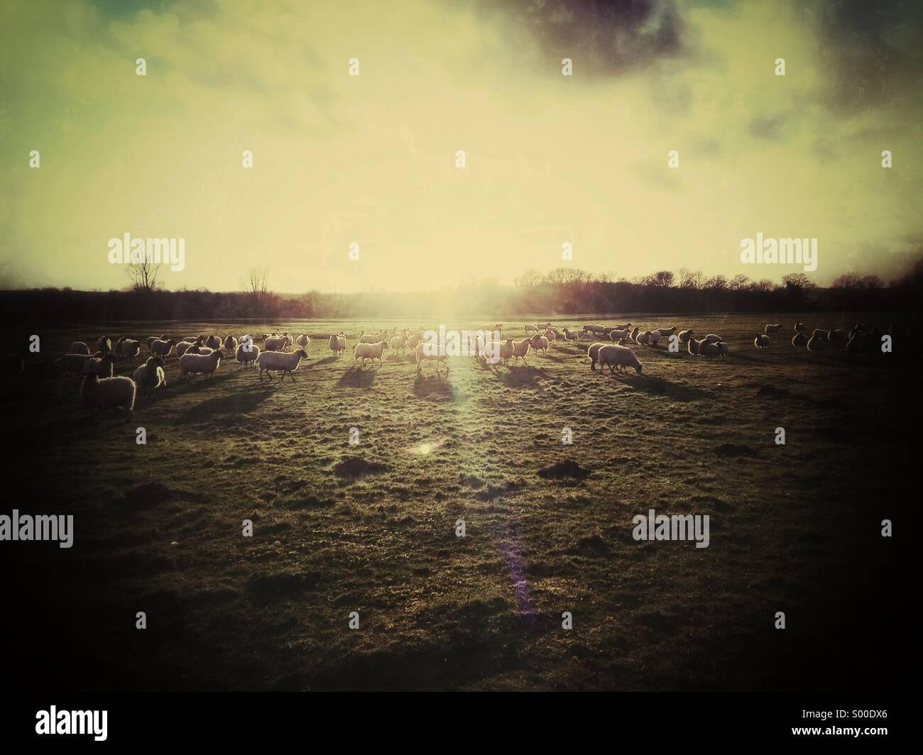 Schafe im Feld suchen in Sonne Stockbild