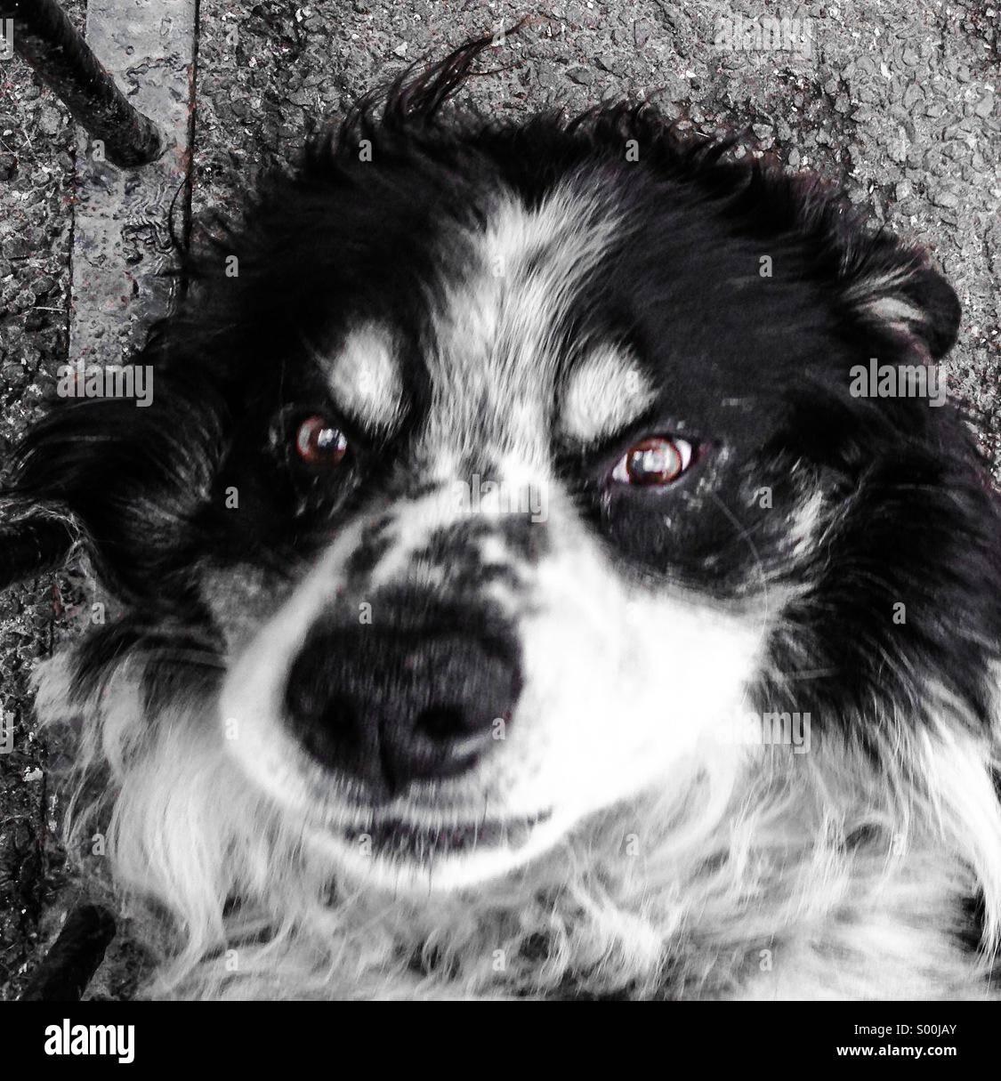 Collie Hund liegend auf der Suche gerade nach oben Stockbild