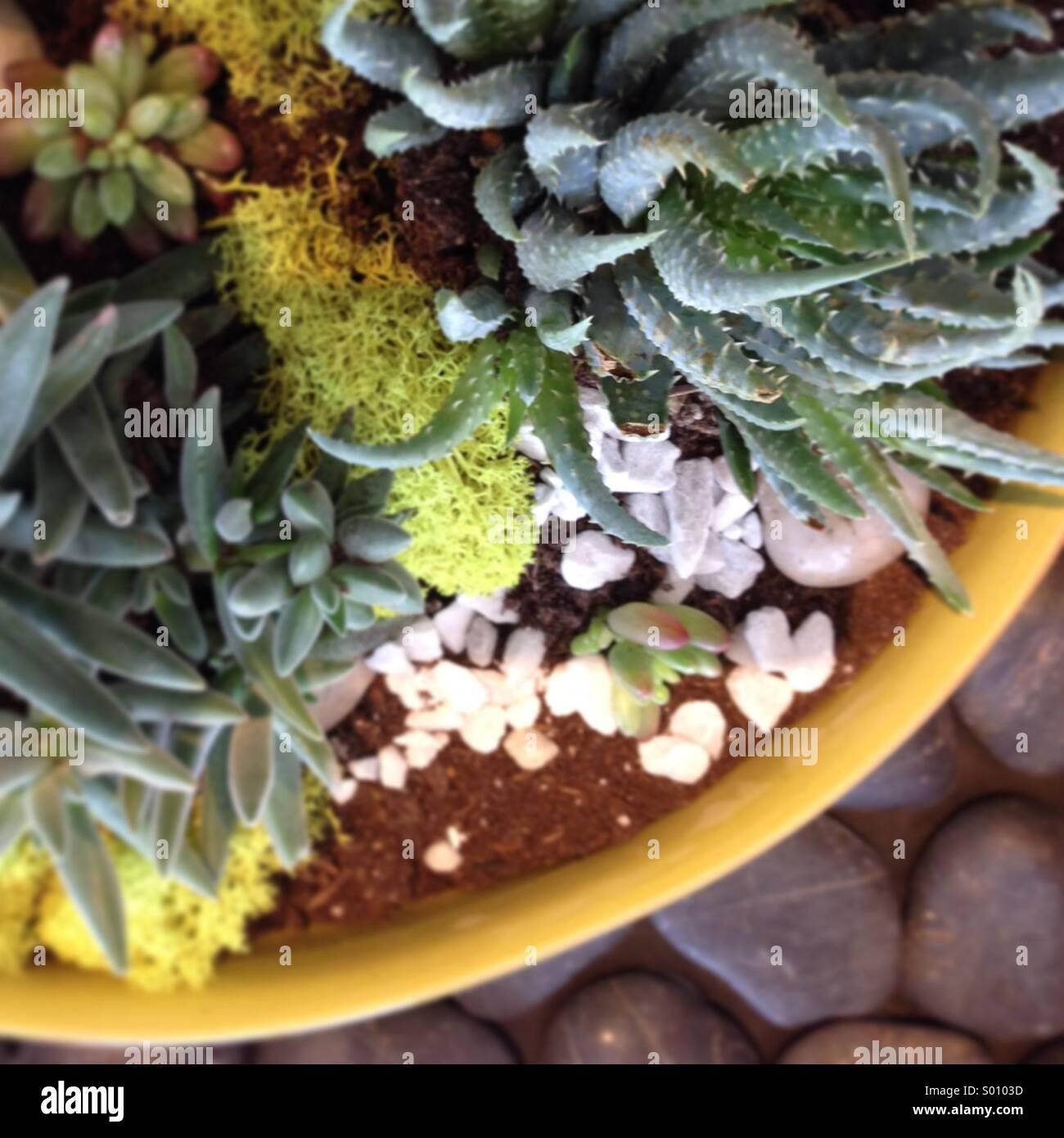 Pflanzer von Sukkulenten. Stockbild