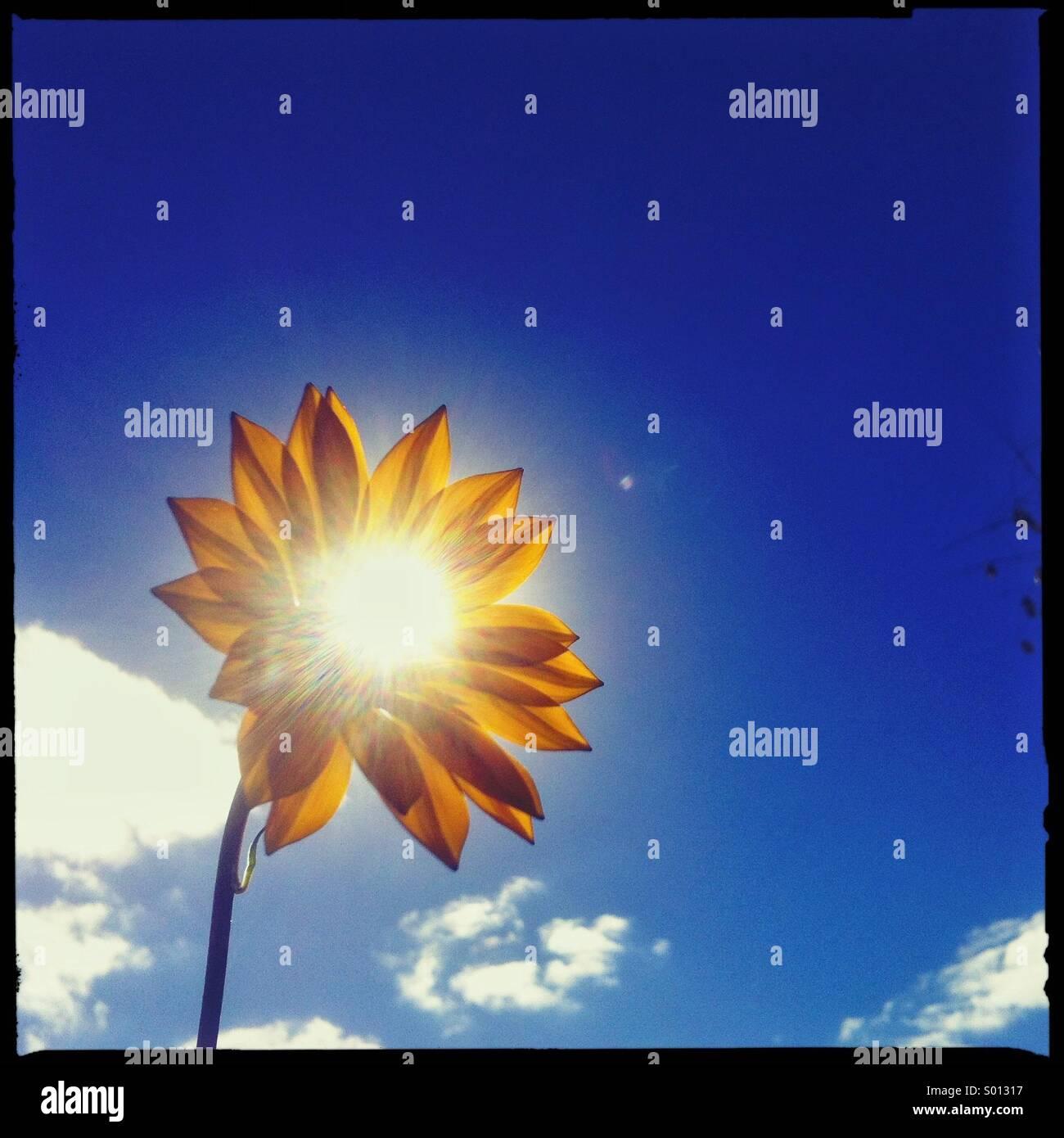 Sonne durch eine Blume Stockbild