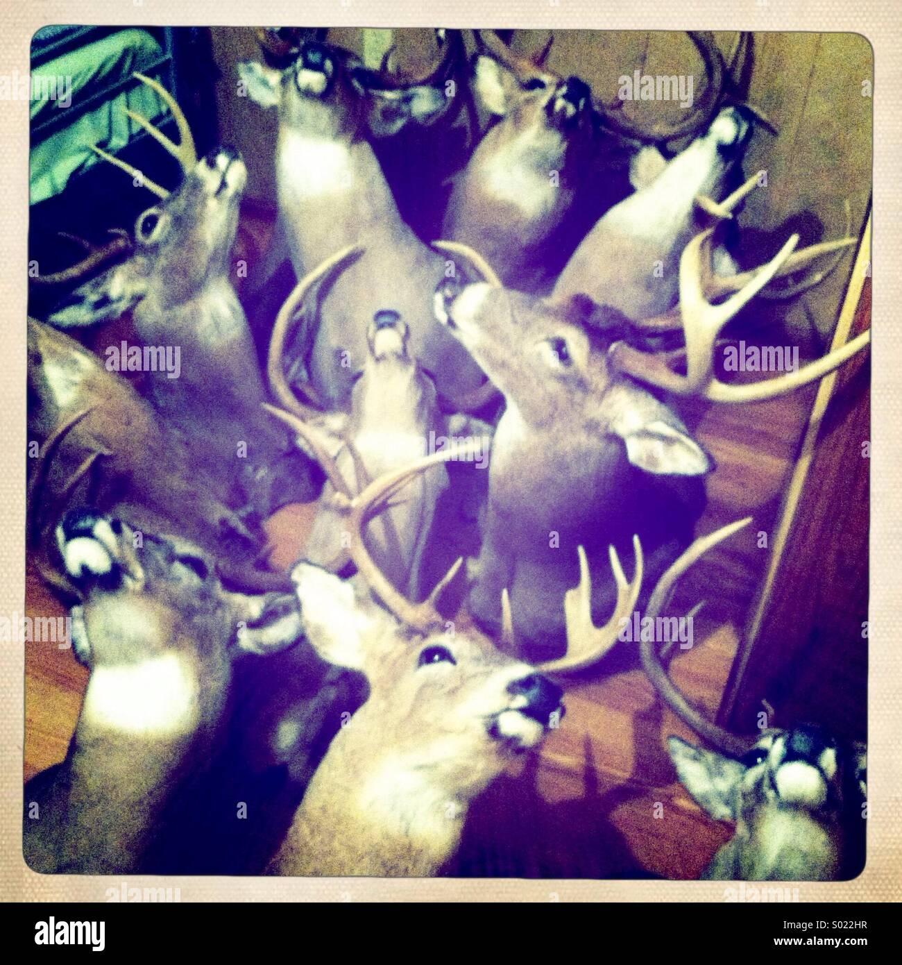 Weißen Schweif, die Hirsche Reittiere gestapelt in einem Raum. Stockbild