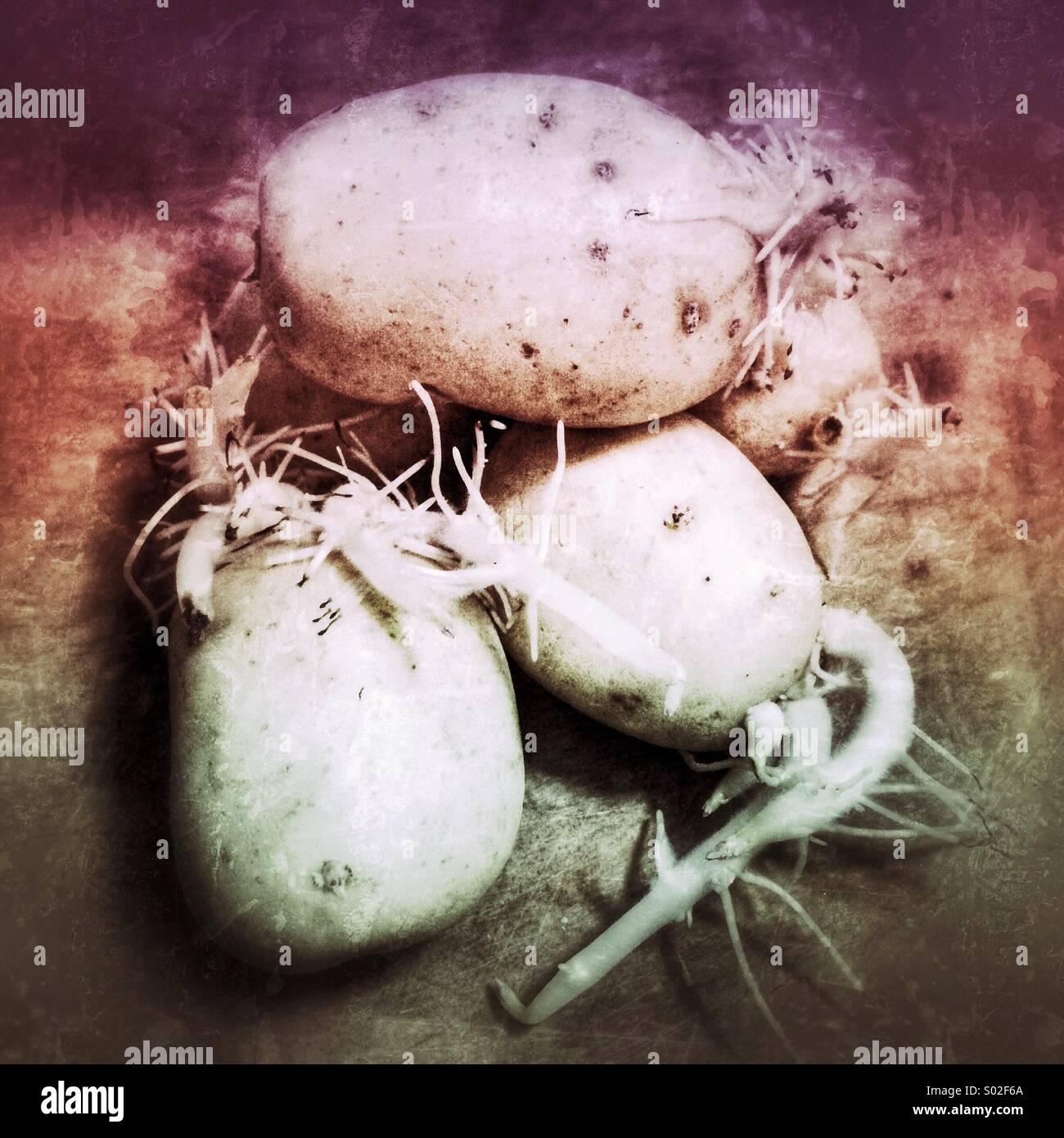 Gekeimten Kartoffeln Stockbild