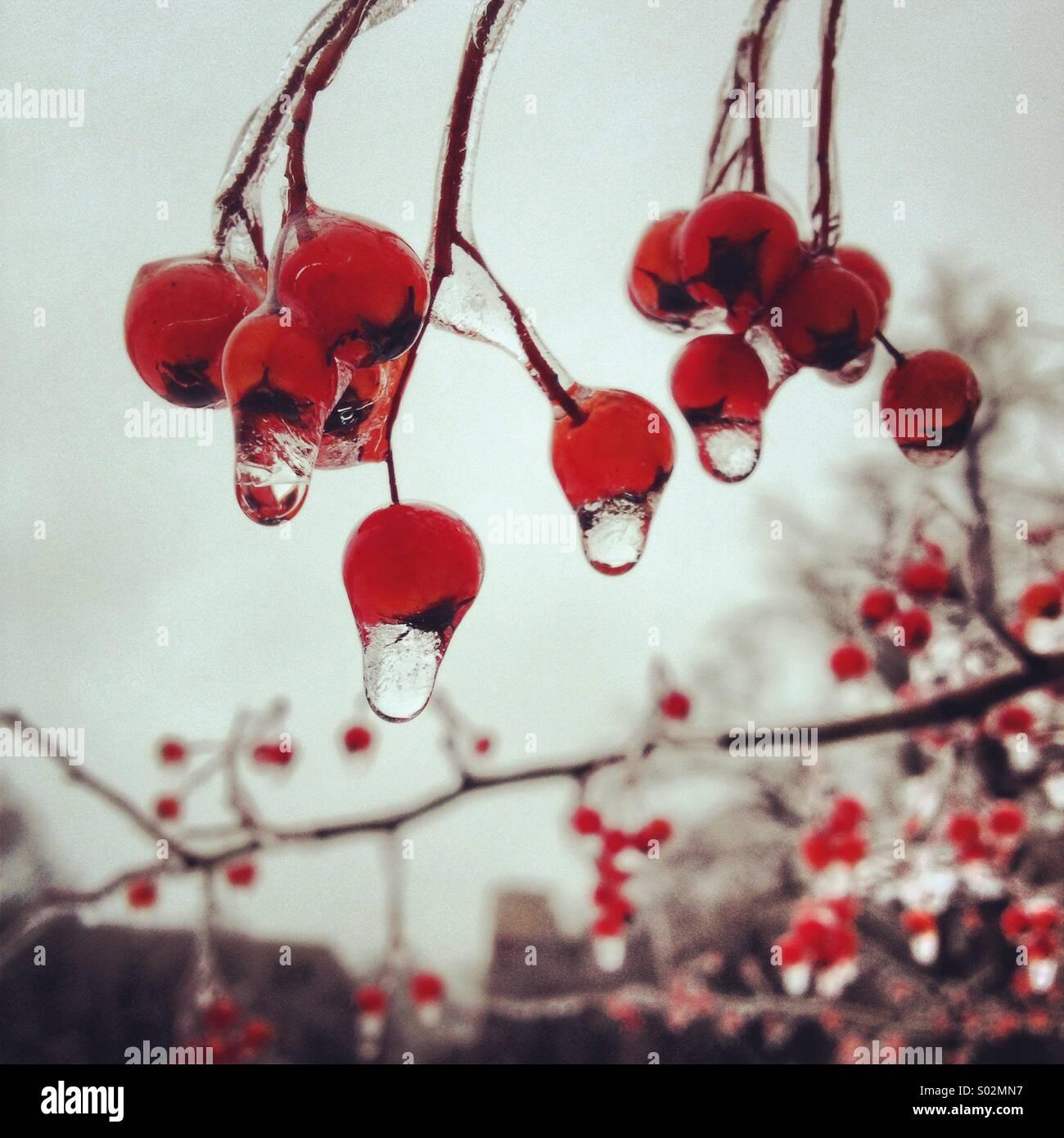 Gefrorenen Wassertropfen auf roten Beeren im winter Stockbild