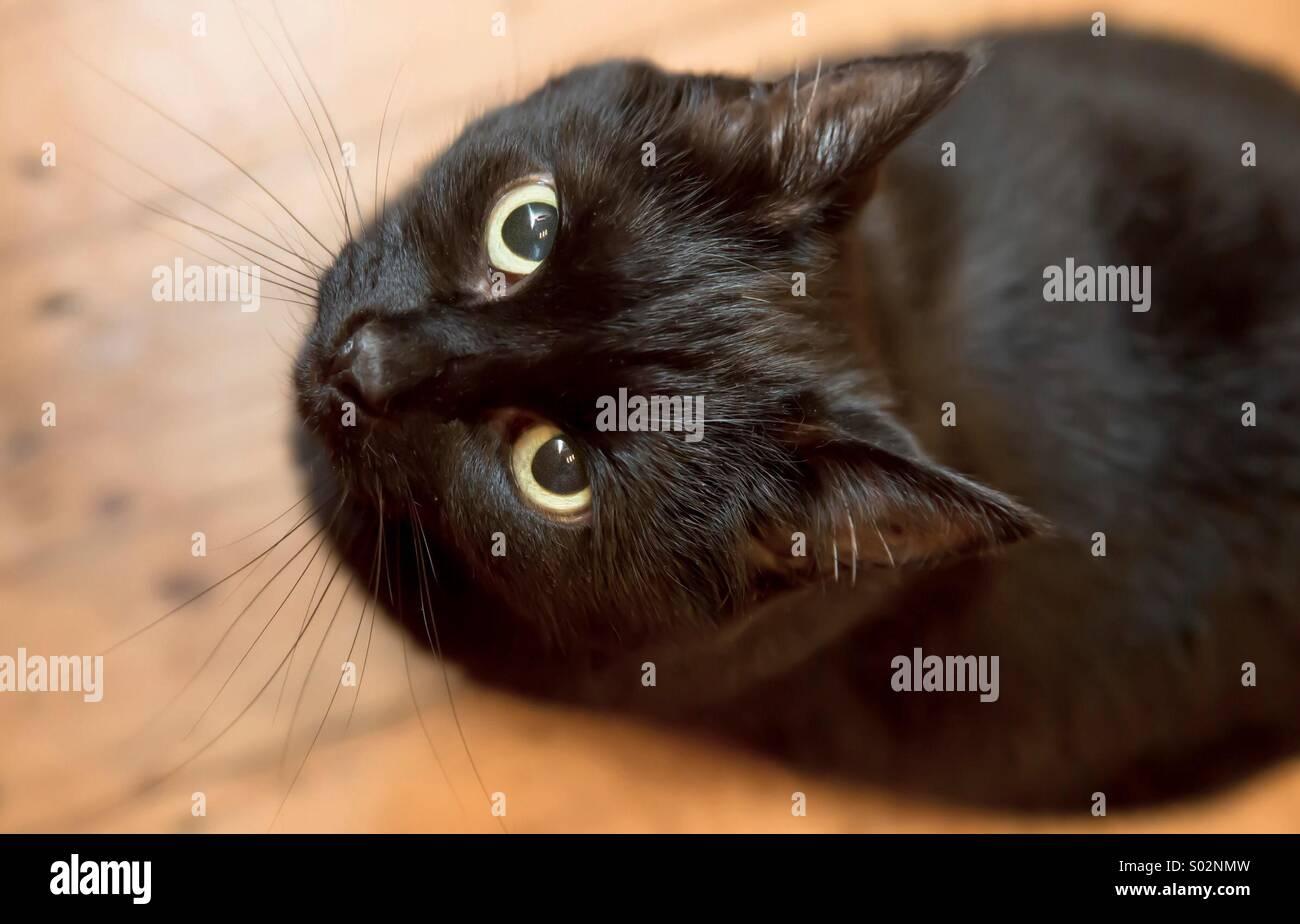 Schwarze Katze, Blick zum Objektiv Stockbild