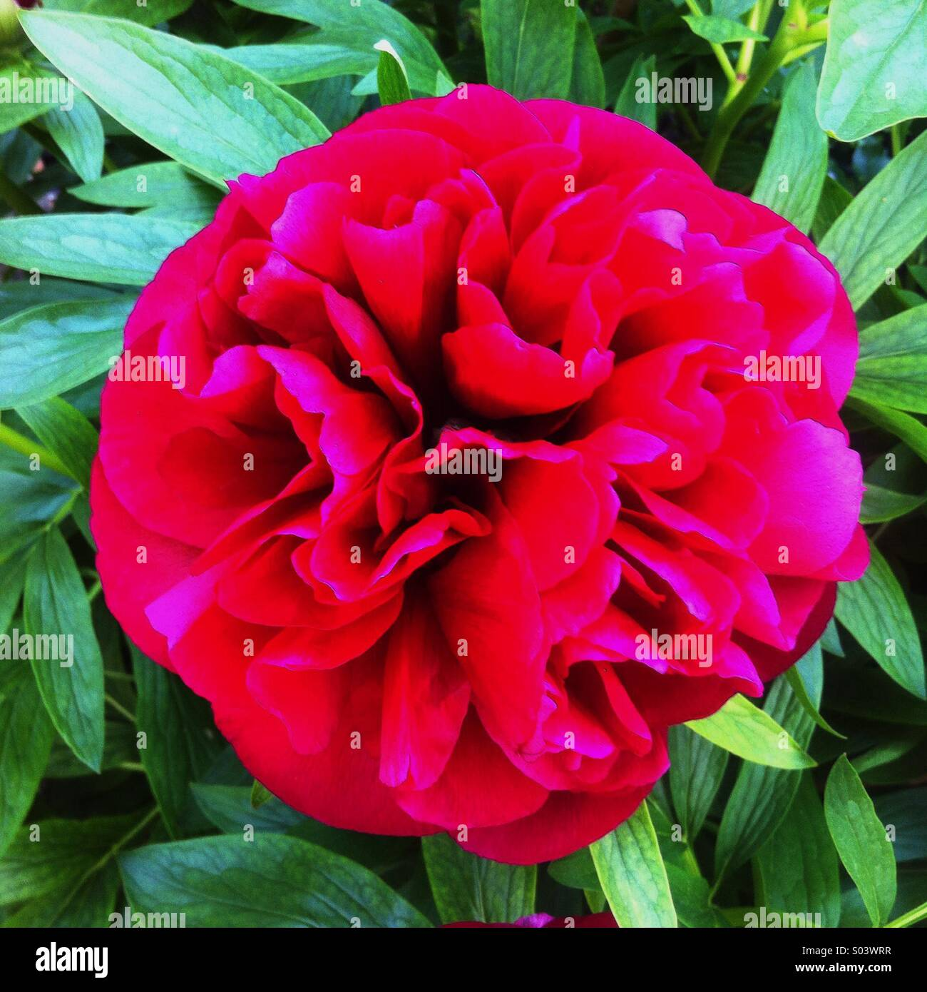 Pfingstrose Blume in voller Blüte Stockbild