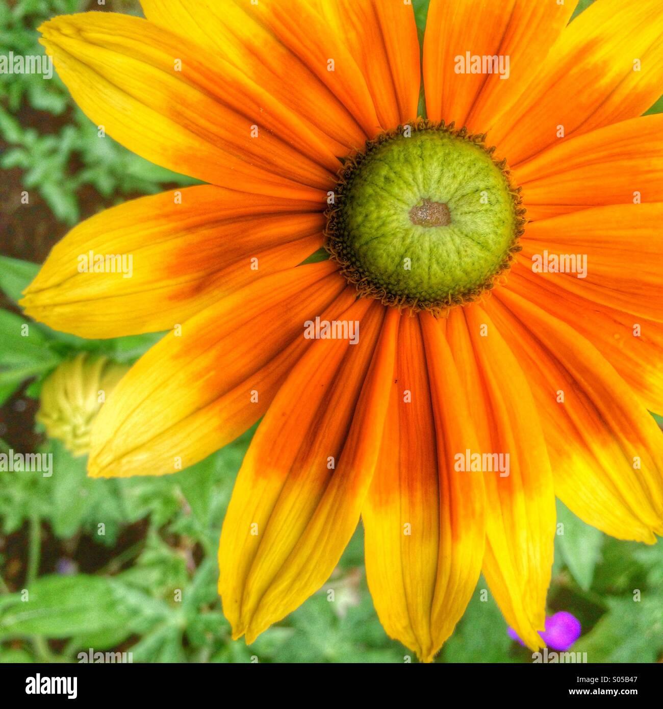 Leuchtend bunte fröhliche daisy Stockbild