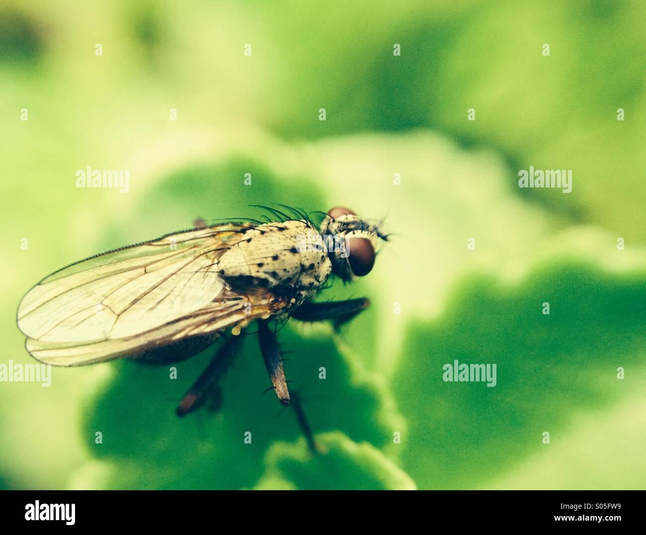 Nahaufnahme einer Fliege Stockbild