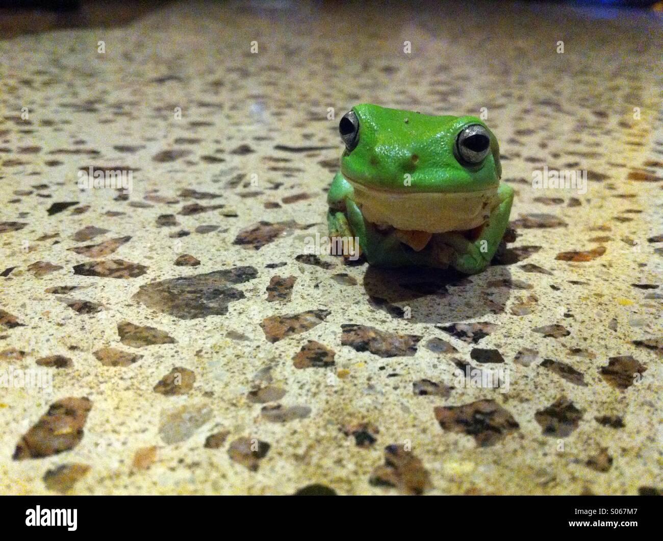 Laubfrosch in der Küche. Stockbild