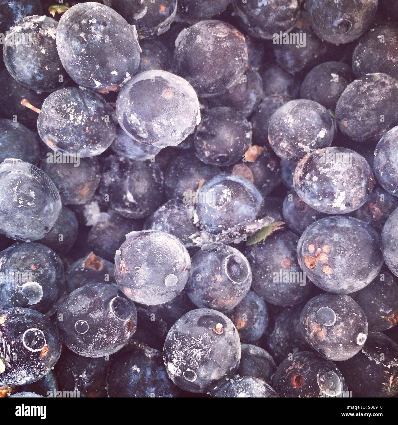 Gefrorene Schlehen bereit für Gin Stockfoto
