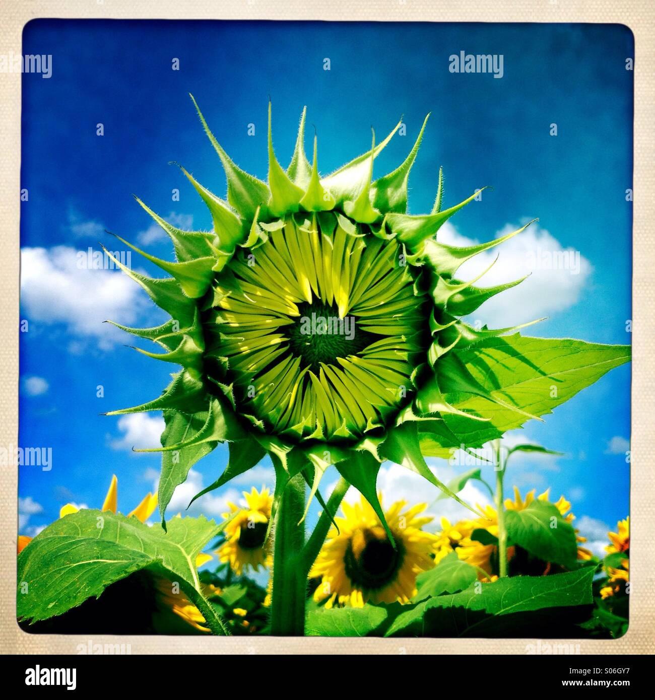 Sonnenblume zu öffnen Stockbild