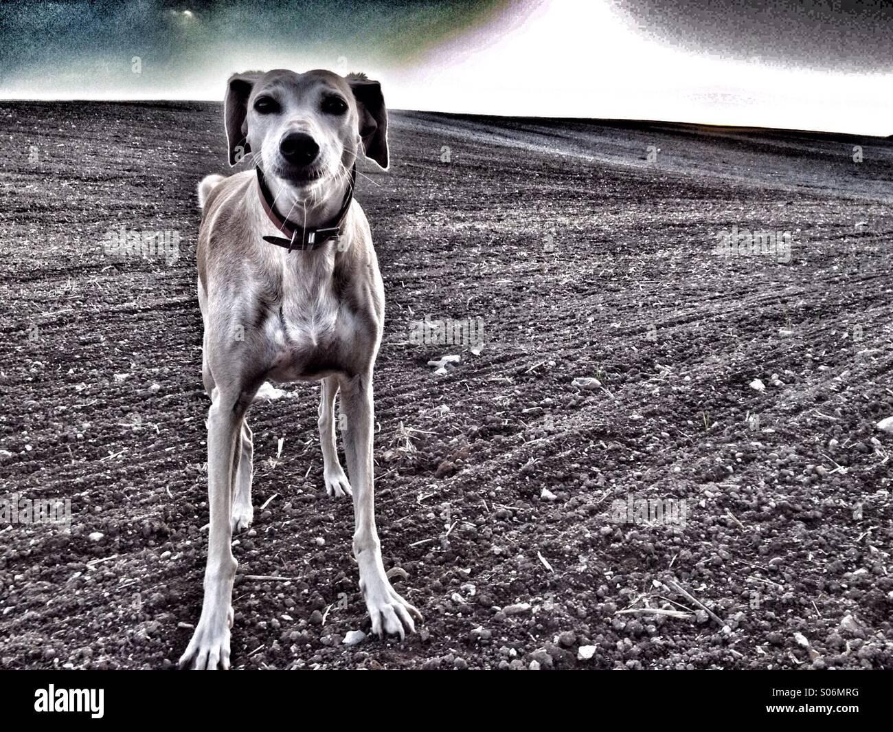 Hund im Feld starrte in Kamera Stockbild