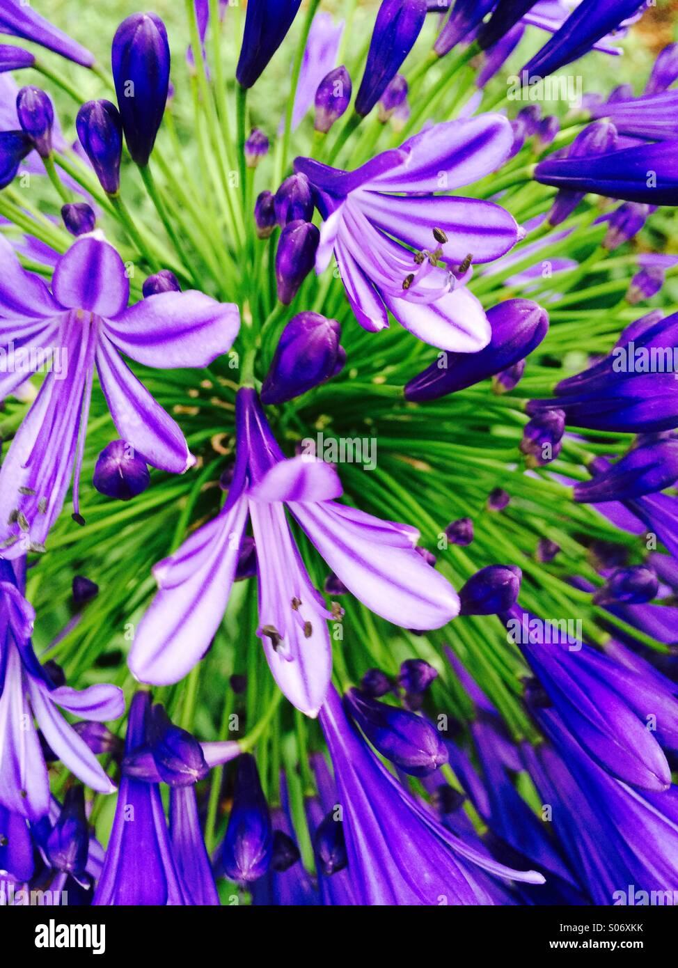 Nahaufnahme der Blüten auf Stielen von Trollblume Agapanthus Stockbild