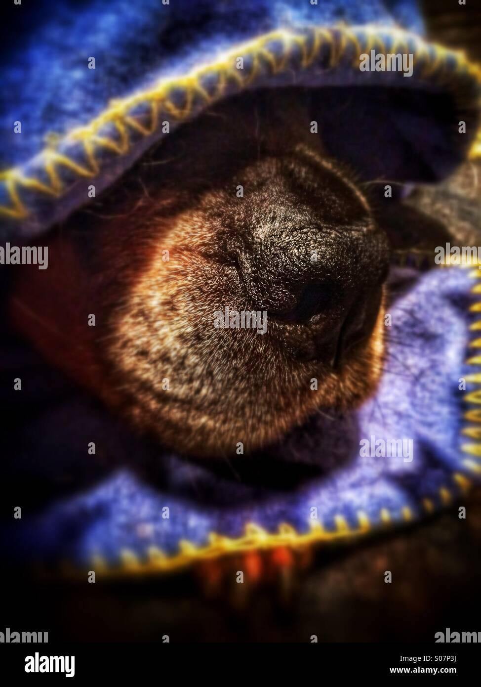 Rottweiler Hund unter Decke aufschlussreiche Nase Stockbild