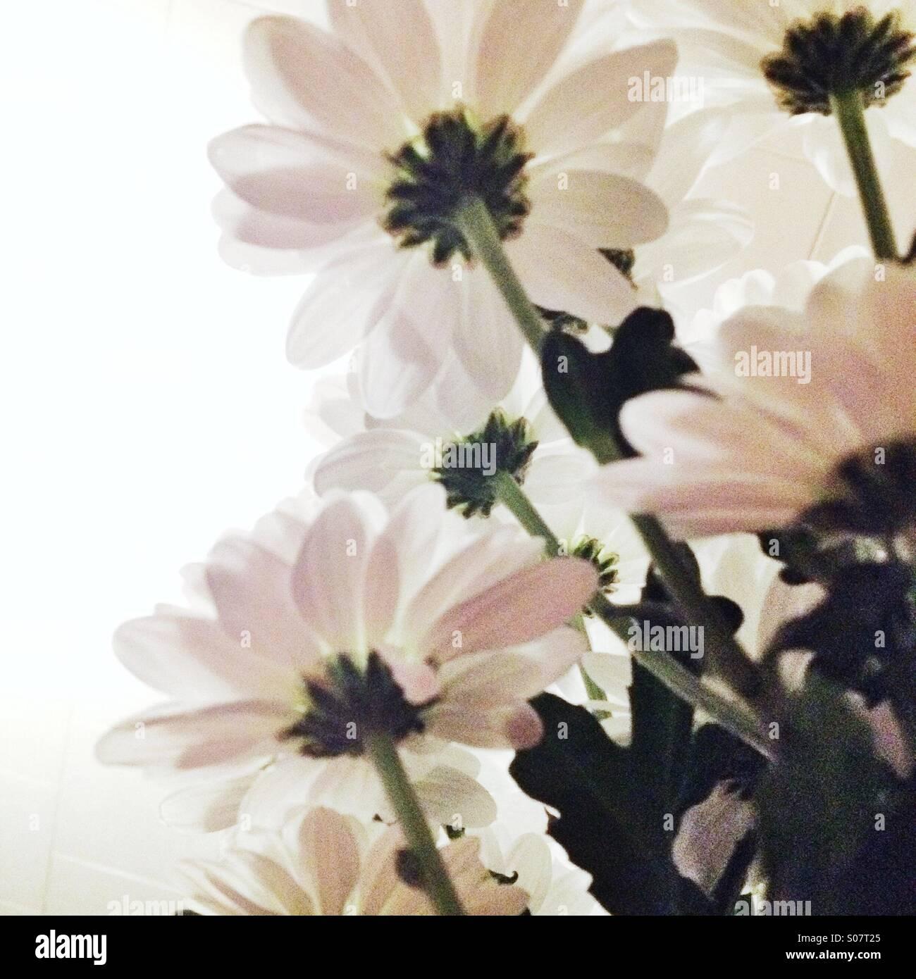 Blick auf weißen Blüten von unter Stockbild