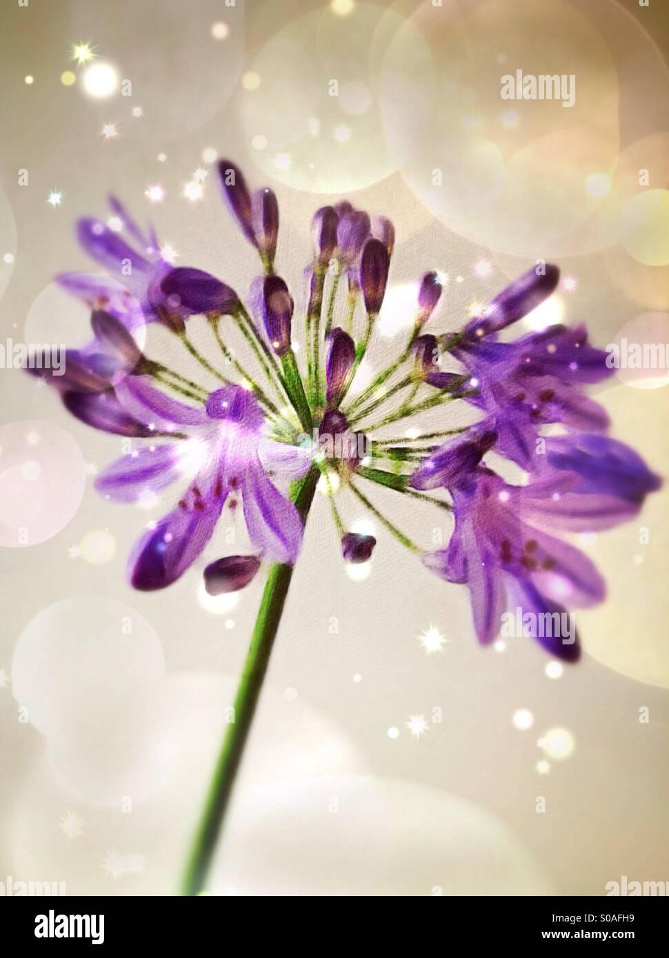 Agapanthus Blütenstand, Illustration, Malerei Stil. Stockbild
