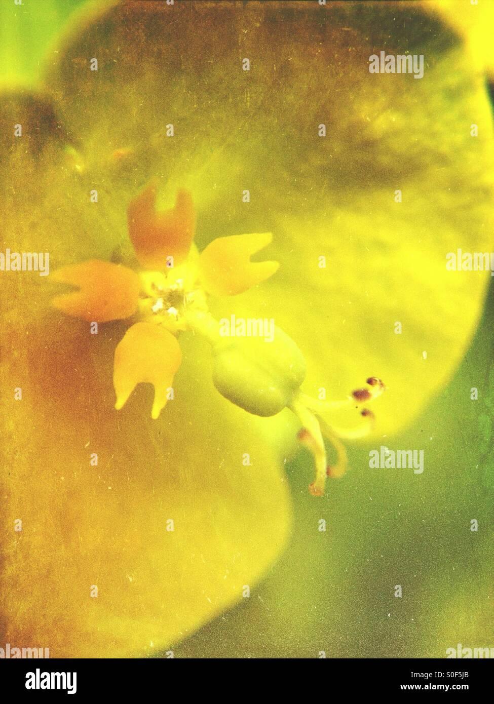 Nahaufnahme von Wolfsmilch Pflanze Stockbild