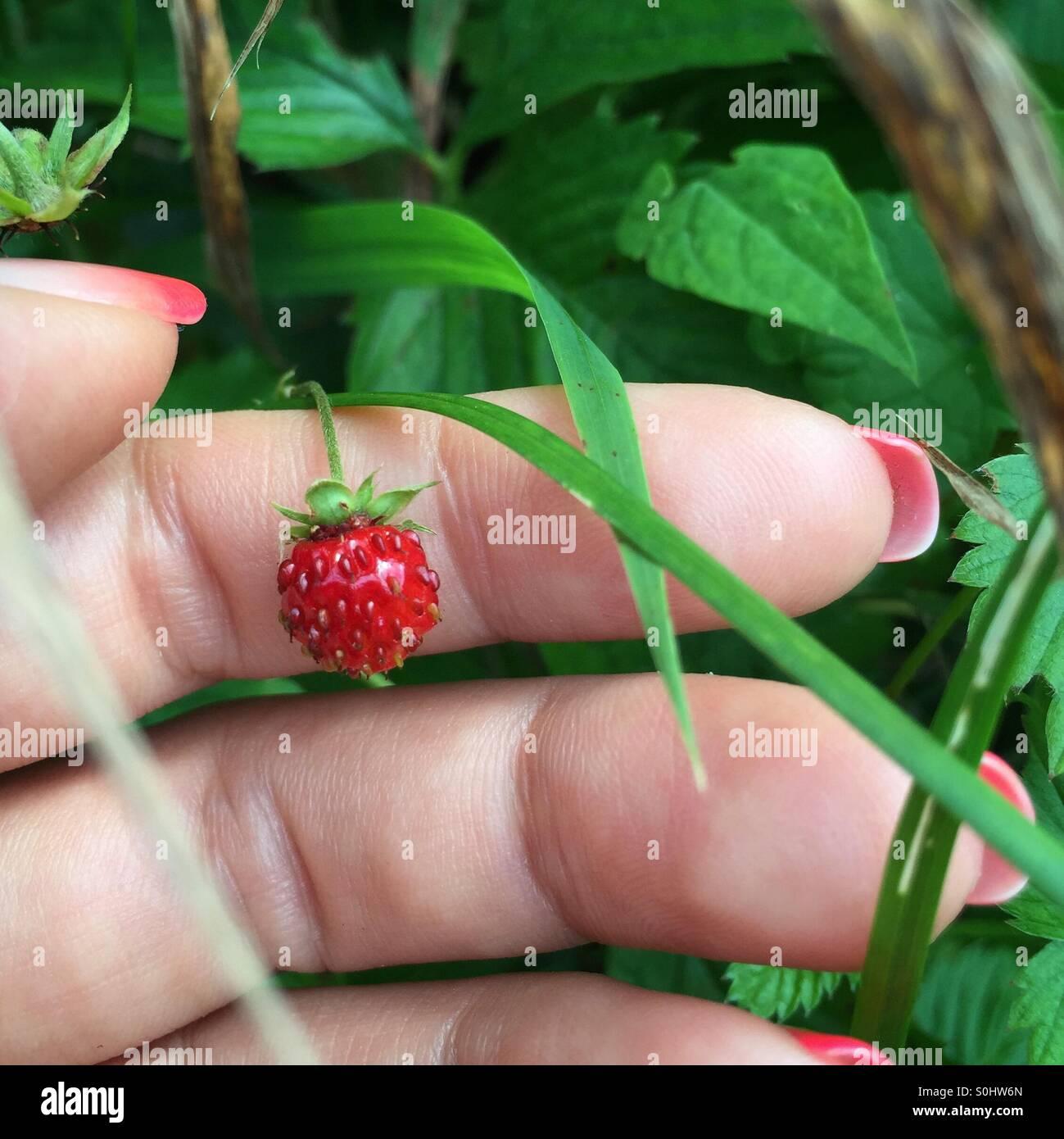 Wilde Erdbeeren Stockbild