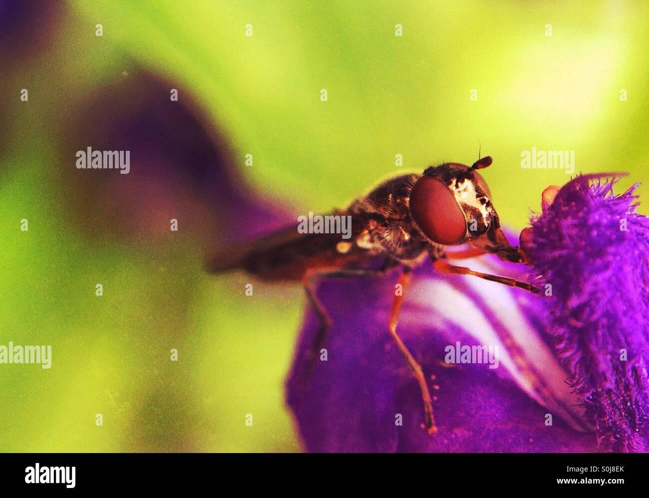 Nahaufnahme einer Fliege auf eine lila Blume Stockbild
