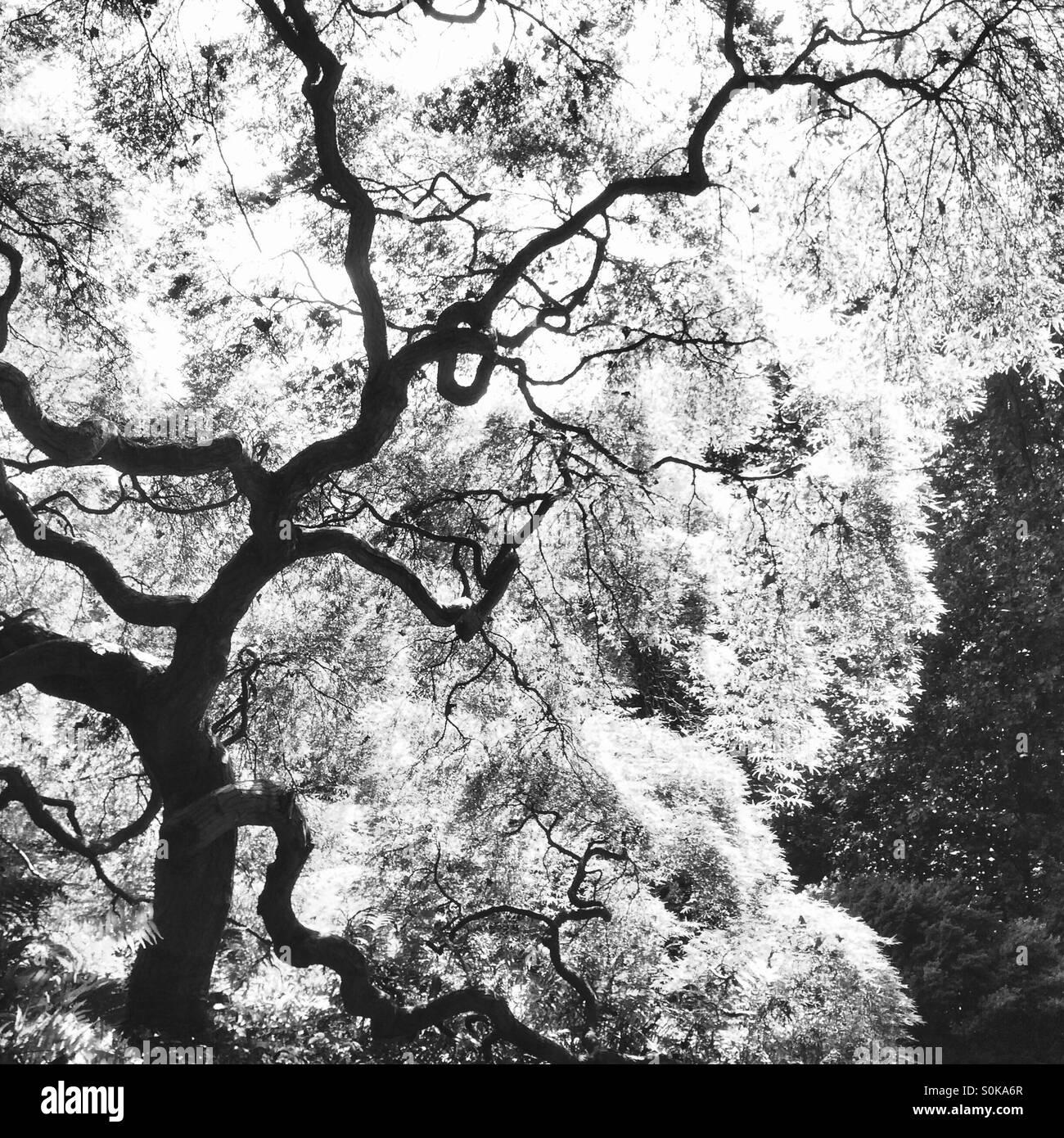 Knorrigen Baum in schwarz / weiß Stockbild