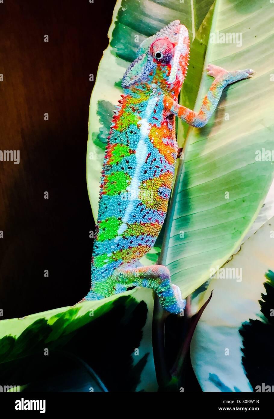 Pantherchamäleon Ambilobe Stockbild
