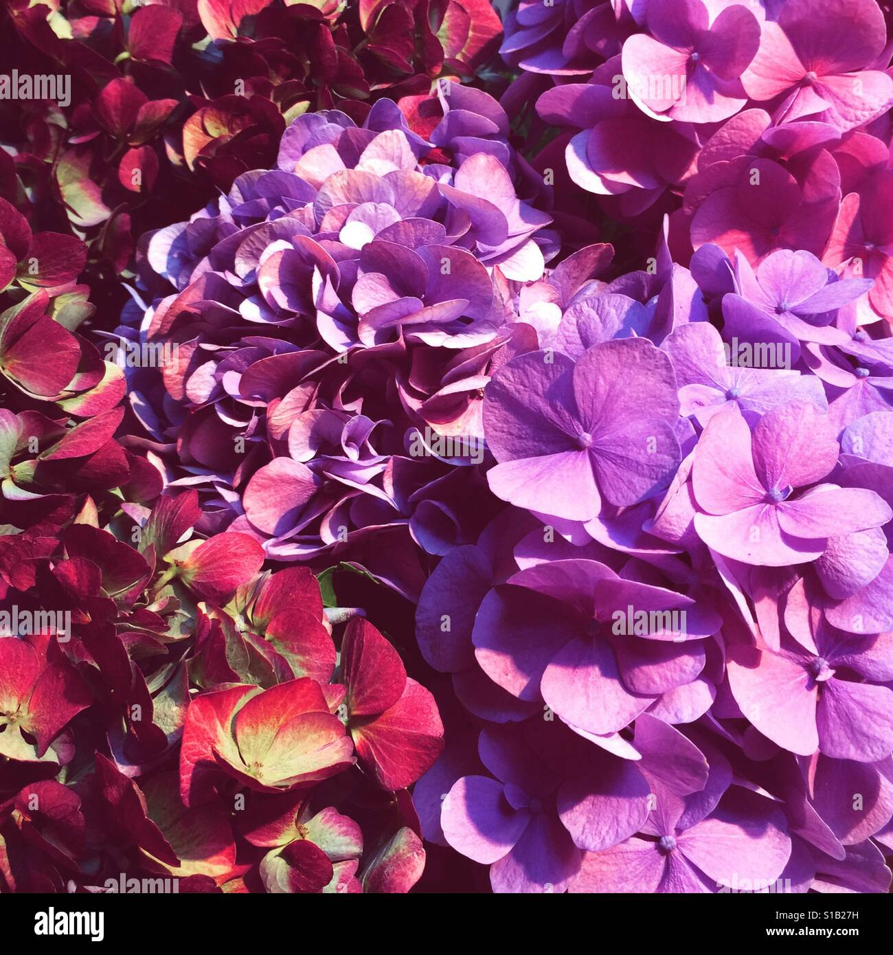 Hortensie-Sommer Stockfoto
