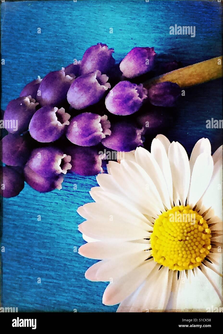 Daisy und Trauben Hyazinthe auf leuchtend blauem Hintergrund Stockfoto