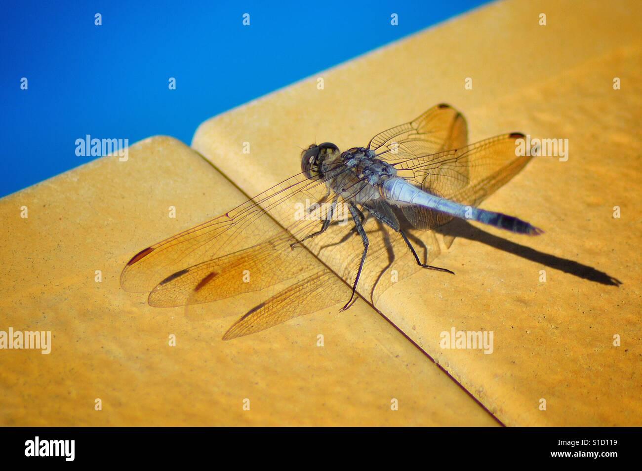 Libelle, Sonnenbaden Stockfoto