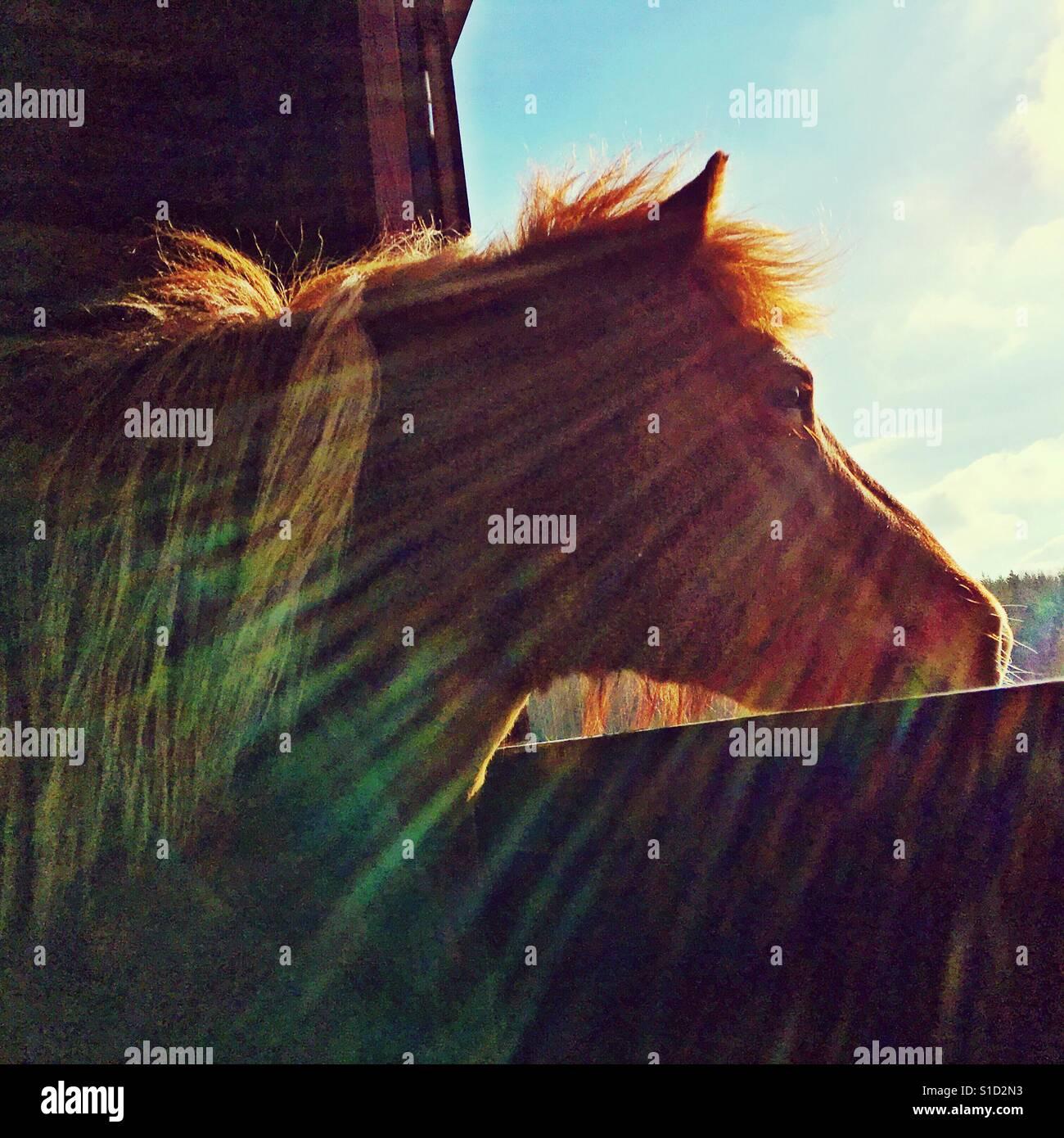 Islandpferd, Blick durch eine Öffnung in die Sonne. Stockfoto