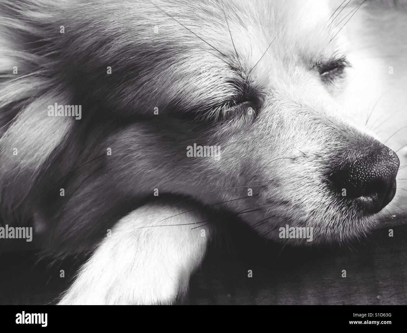 Das schlafende Gesicht der Chihuahua Langhaar-Hund Stockfoto