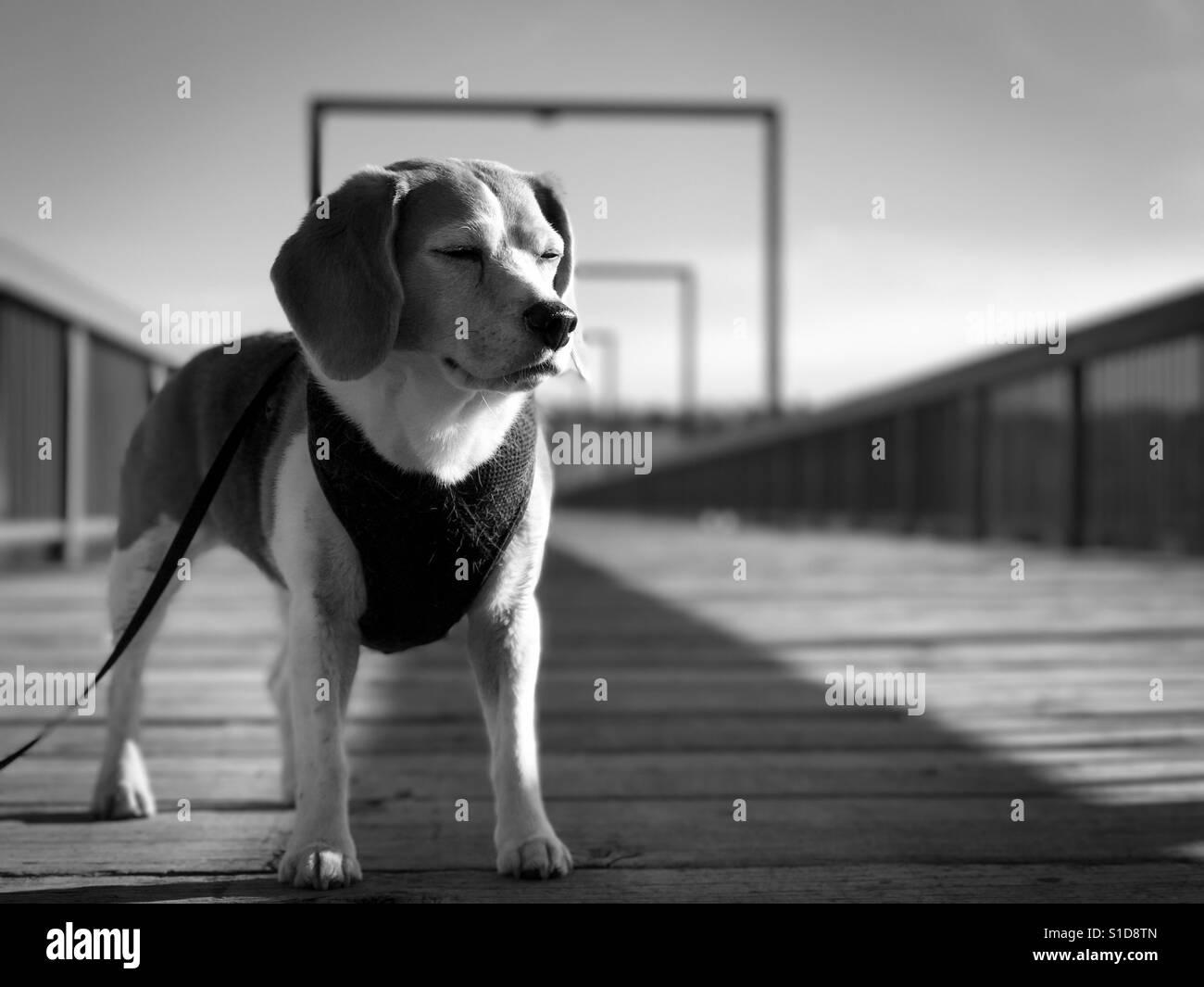 Hund auf einer Brücke. Stockfoto