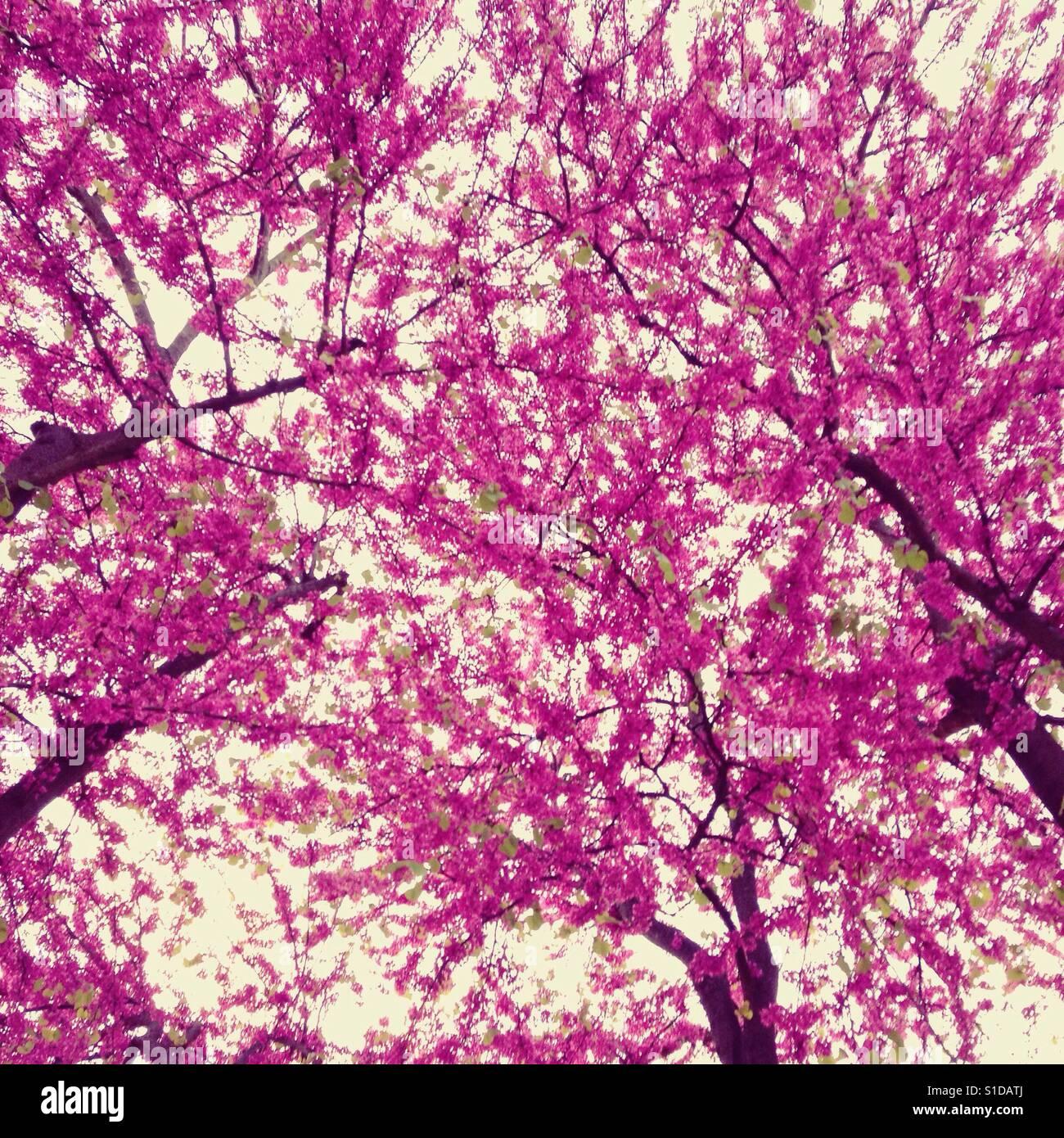 lila Baum im Frühling Stockfoto