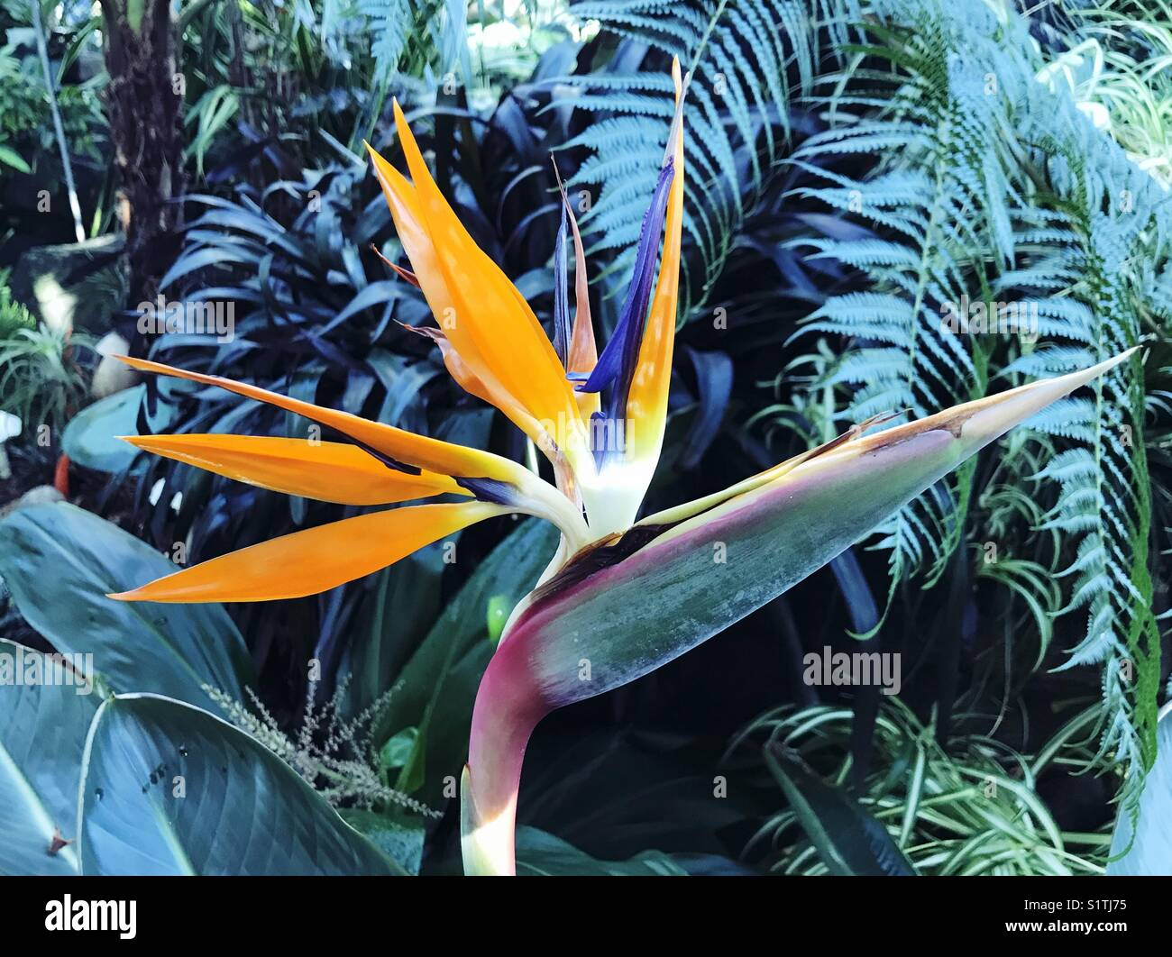 Bird of paradise flower. Stockbild