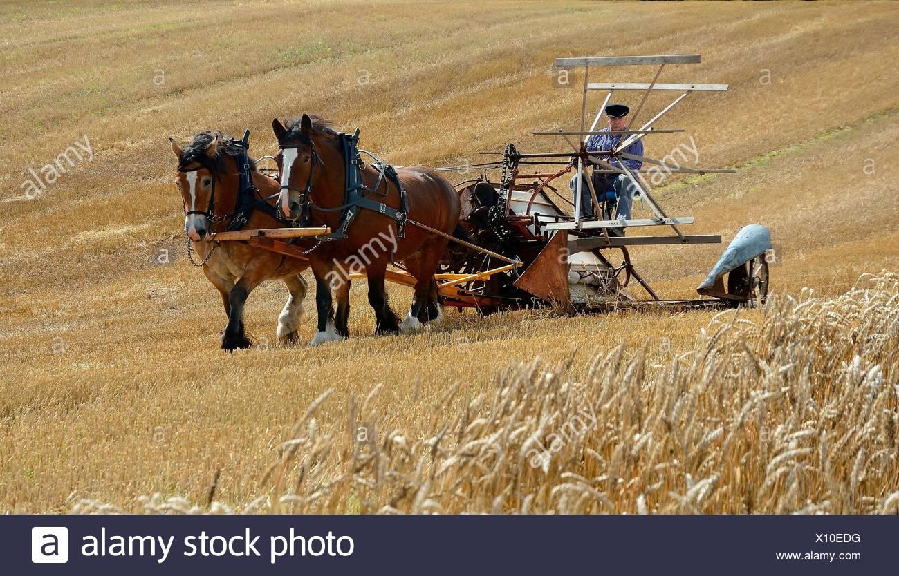 Nostalgische Ernte mit Pferden, Stubbarp Farm, Slimminge, Scania, Schweden Stockbild